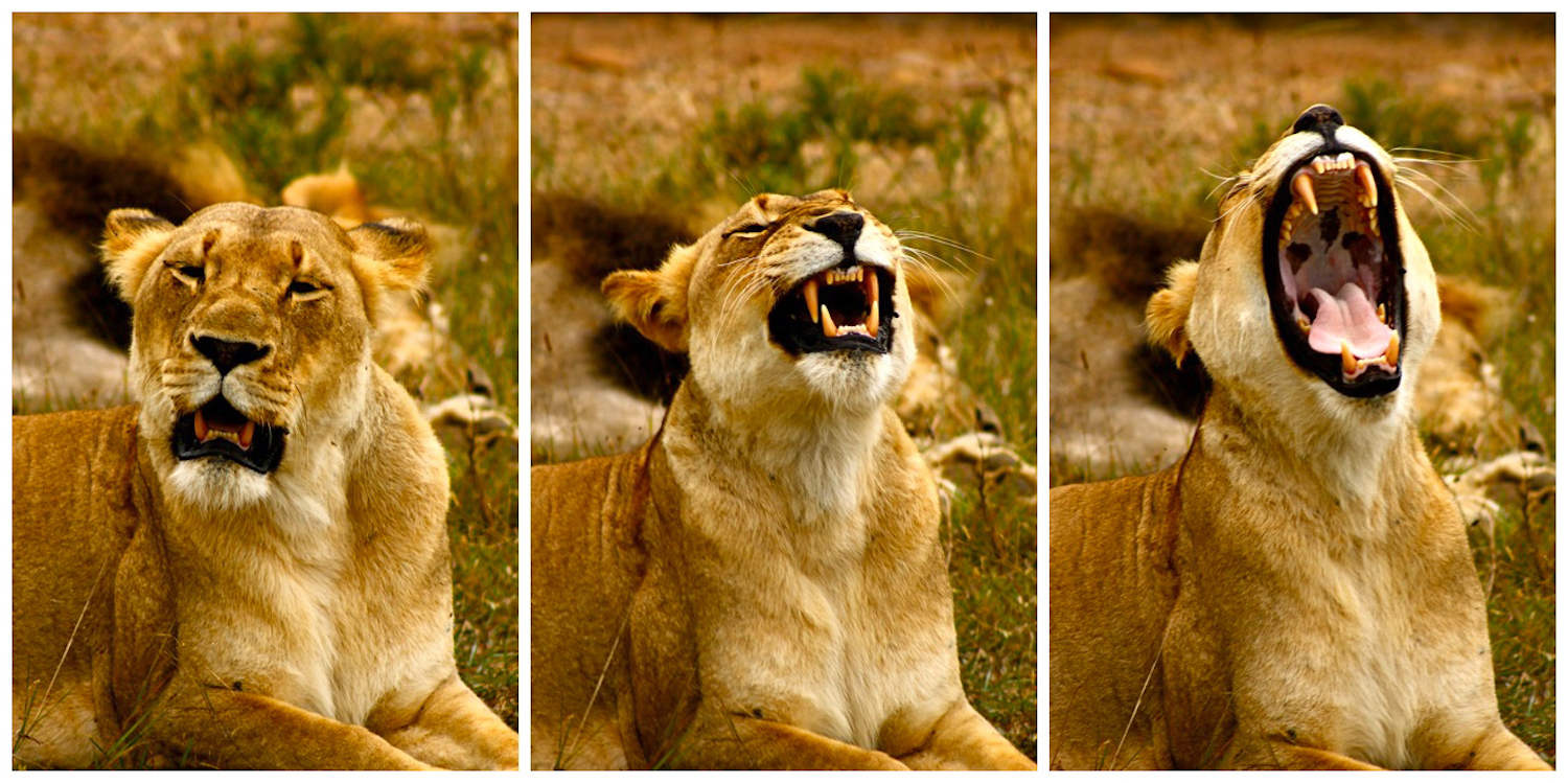 Lion Yawn, South Africa, Canon DSLR