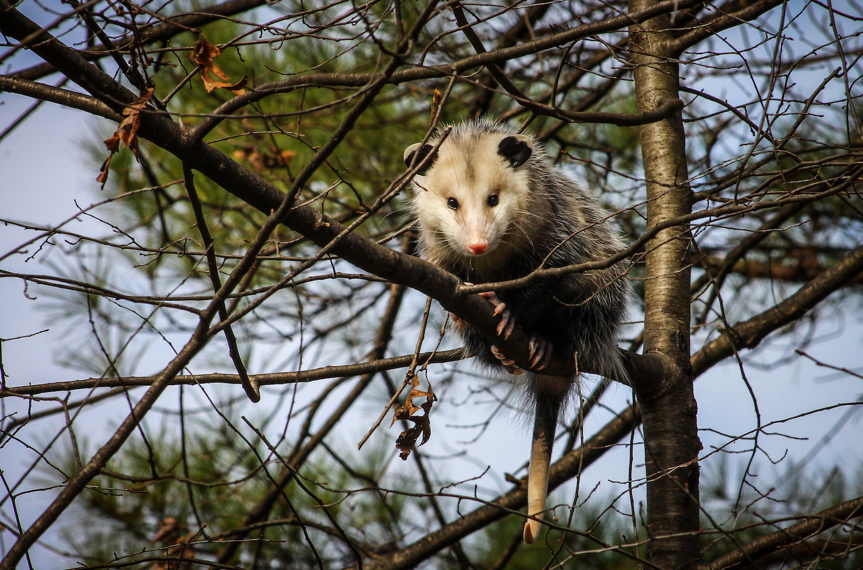 Young Opossum, Atlanta GA, Canon DSLR
