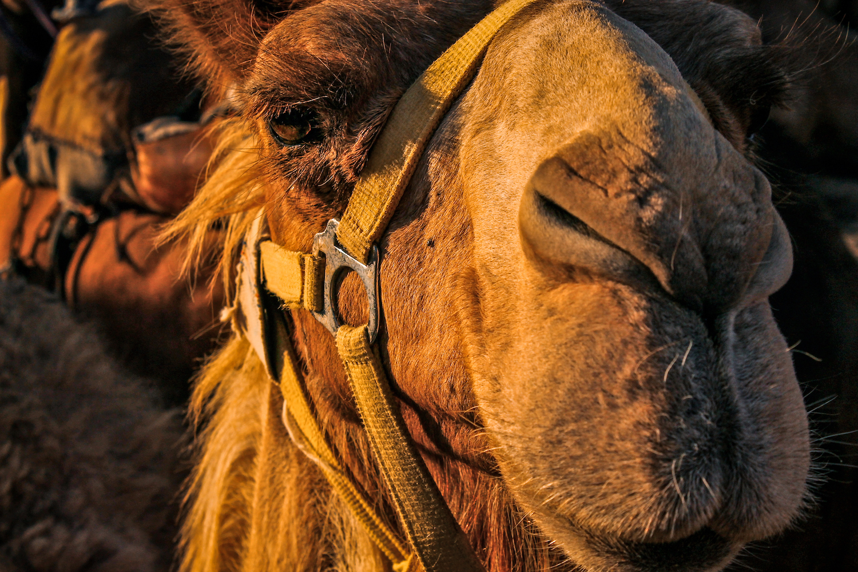 Camel Stare, Israel, Canon DSLR