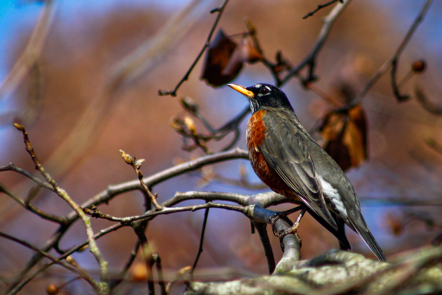 Morning Robin, Atlanta GA, Canon DSLR