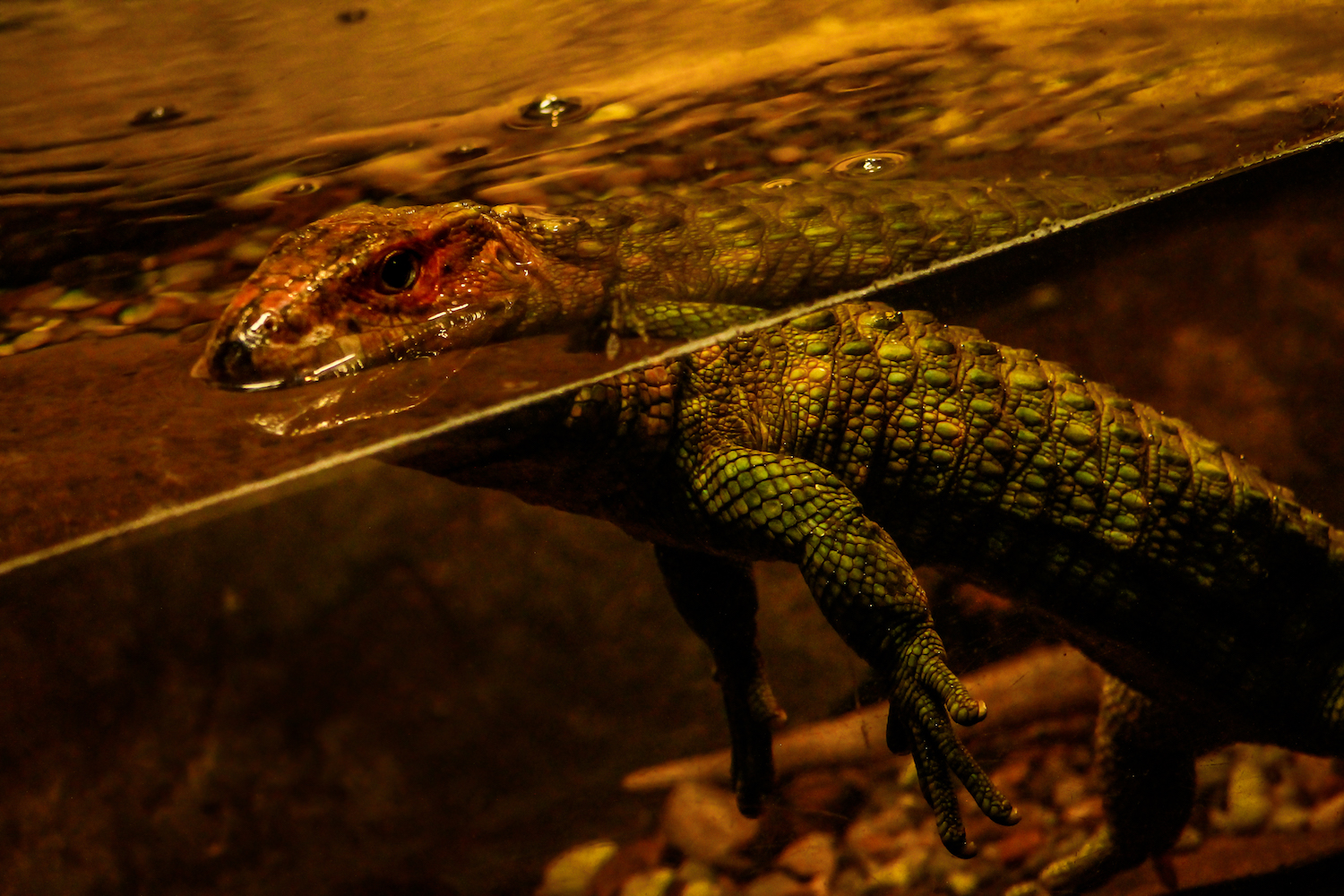 Caiman Lizard Swim, Atlanta Zoo, Canon DSLR