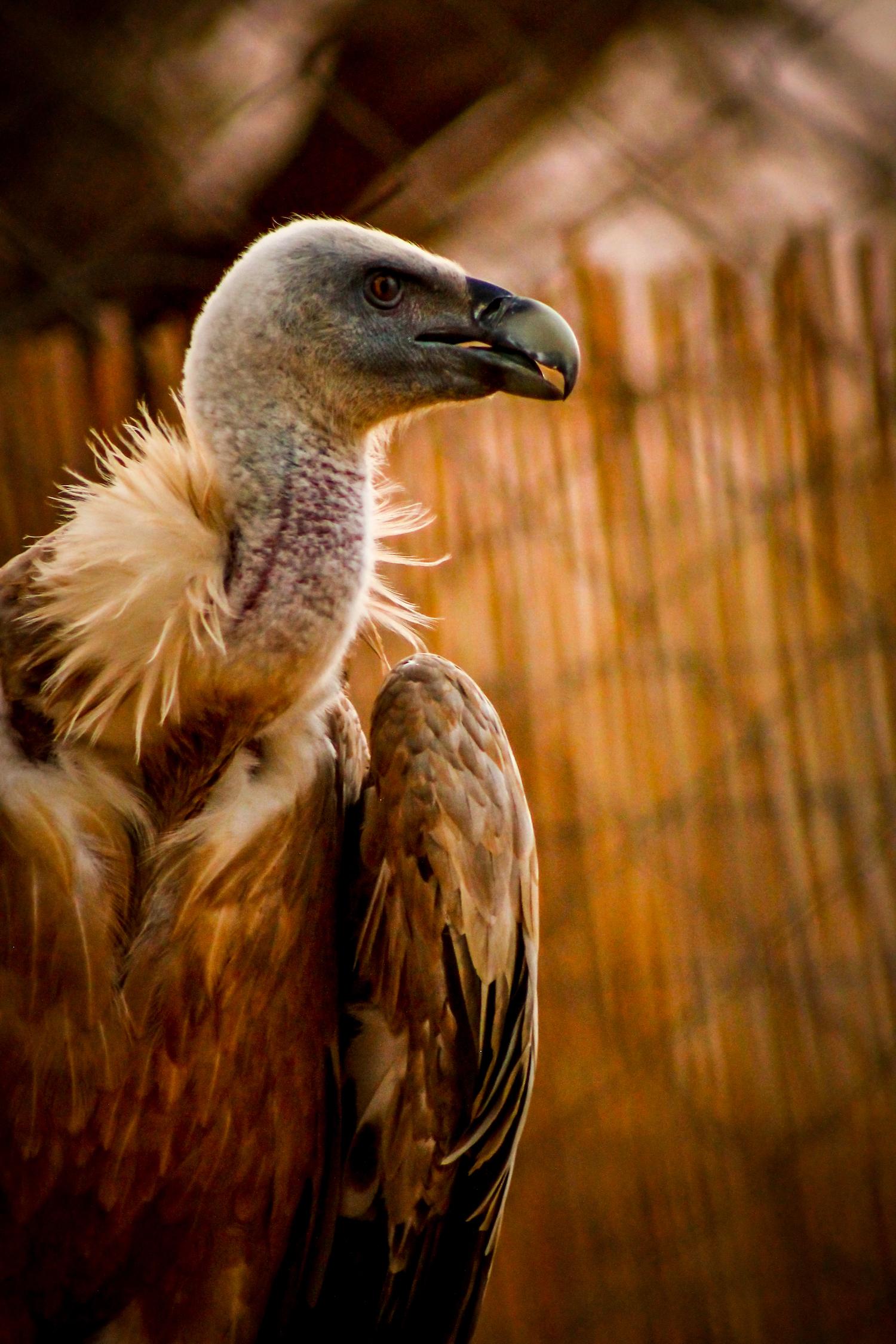 Vulture, Israel, Canon DSLR