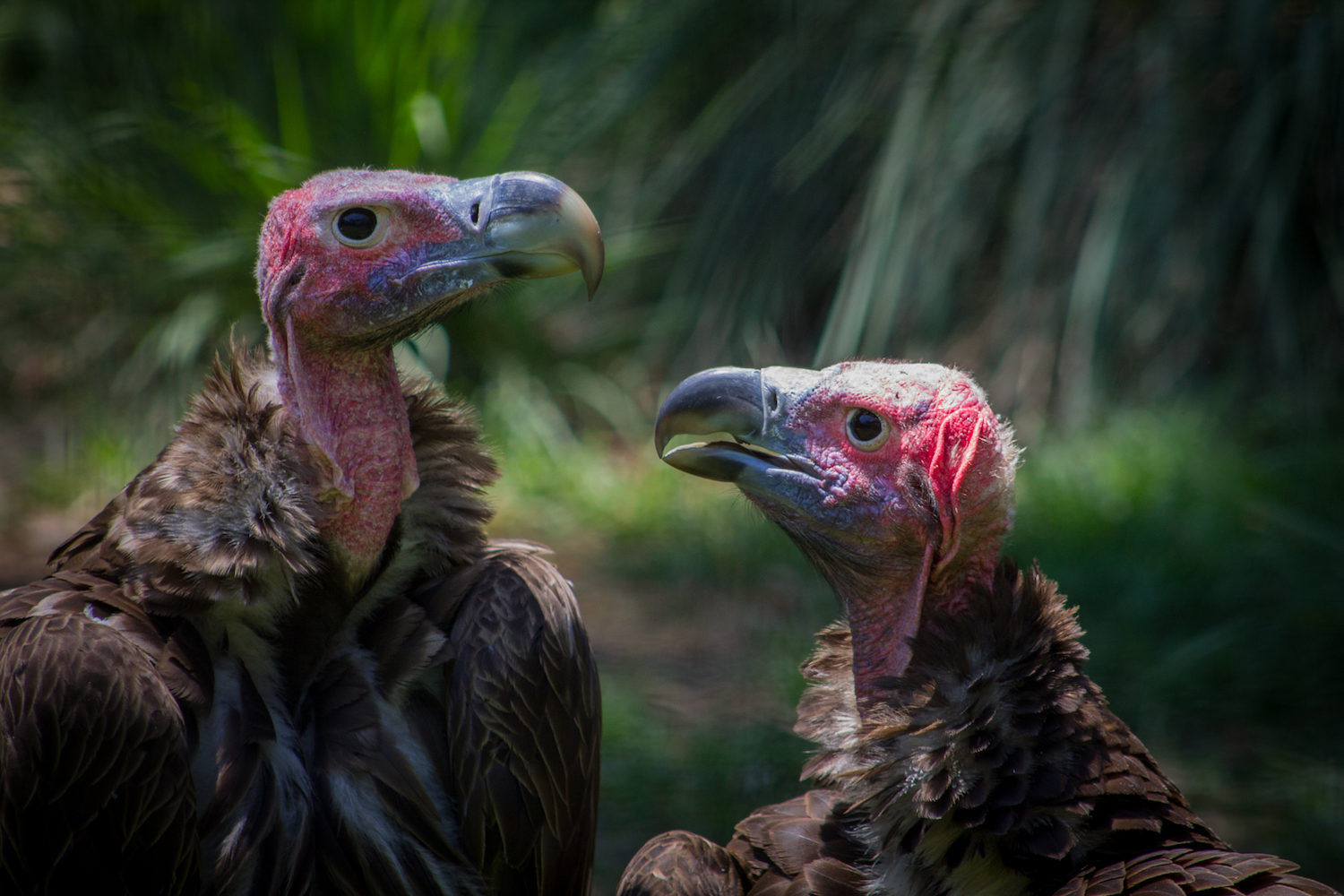Vulture Pair, Atlanta Zoo, Canon DSLR