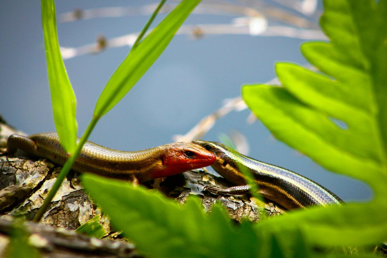 Salamander Pair, Atlanta GA, Canon DSLR