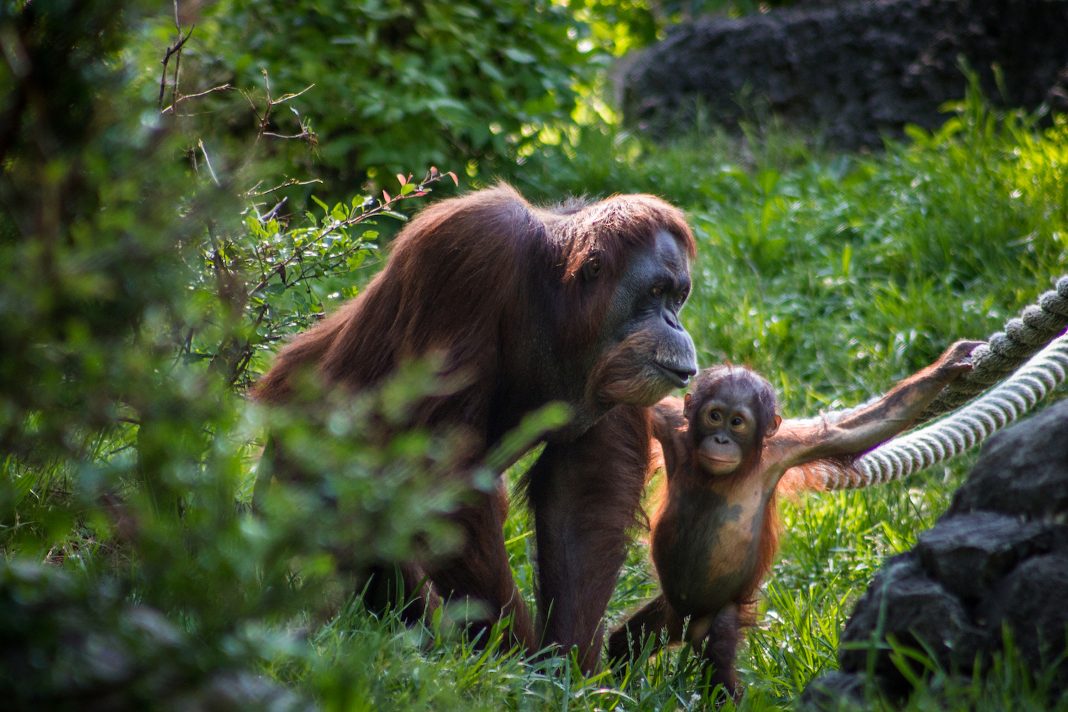 Mother and Young Orangutan, Atlanta Zoo, Canon DSLR