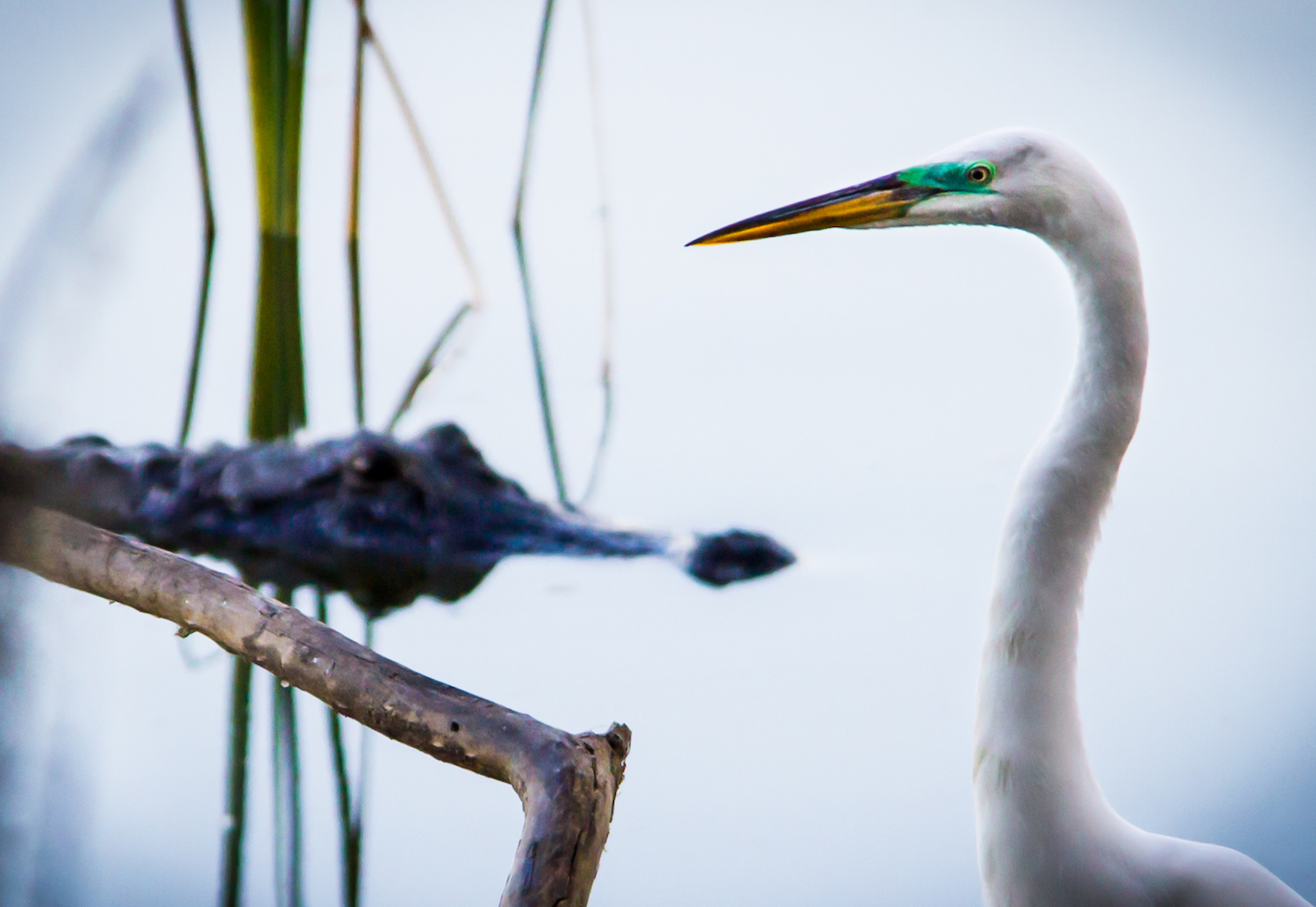 Great Egret and Gator, Lakeland FL, Canon DSLR