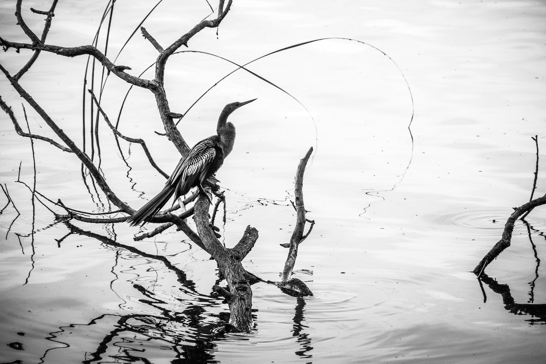 Anhinga Portrait, Lakeland FL, Canon DSLR