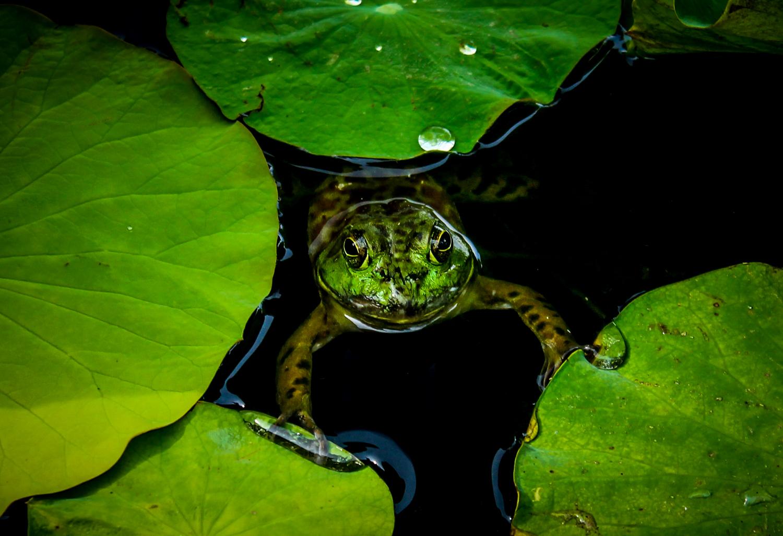 Bullfrog, Atlanta GA, Canon DSLR