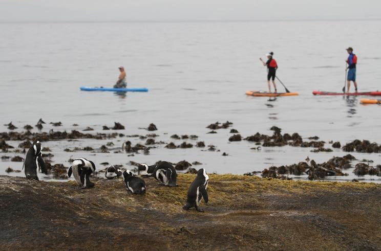 Simon's Town SUP - Kevesen tudják, de Fokváros partjainál rengeteg fóka és pingvin is van. Egy fakultatív túra keretében lehetőségünk lesz elmenni SUP-ozni és közben megfigyelni őket. A túra ára kb. 50 euró.