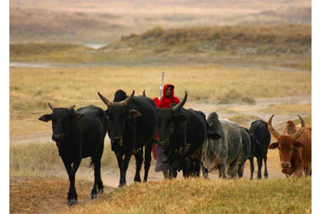 Young Masaai Herding Cattle.jpg