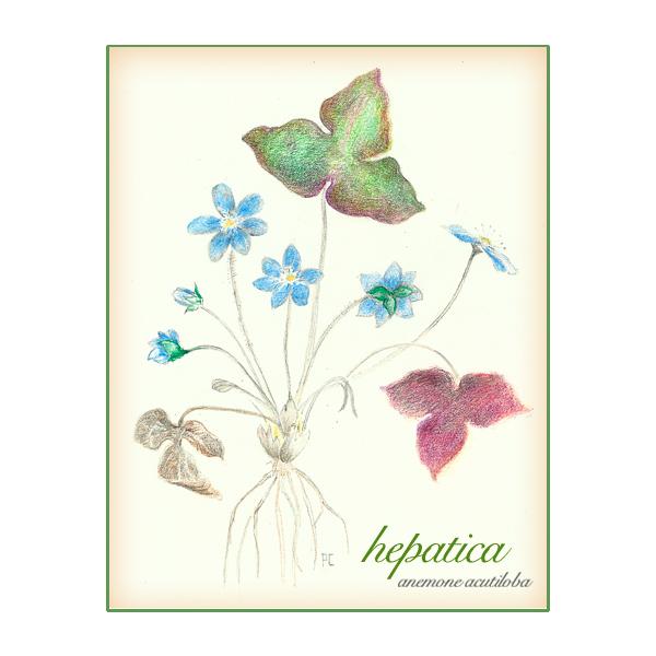Hepatica Wildfower by Patti Cauldwell