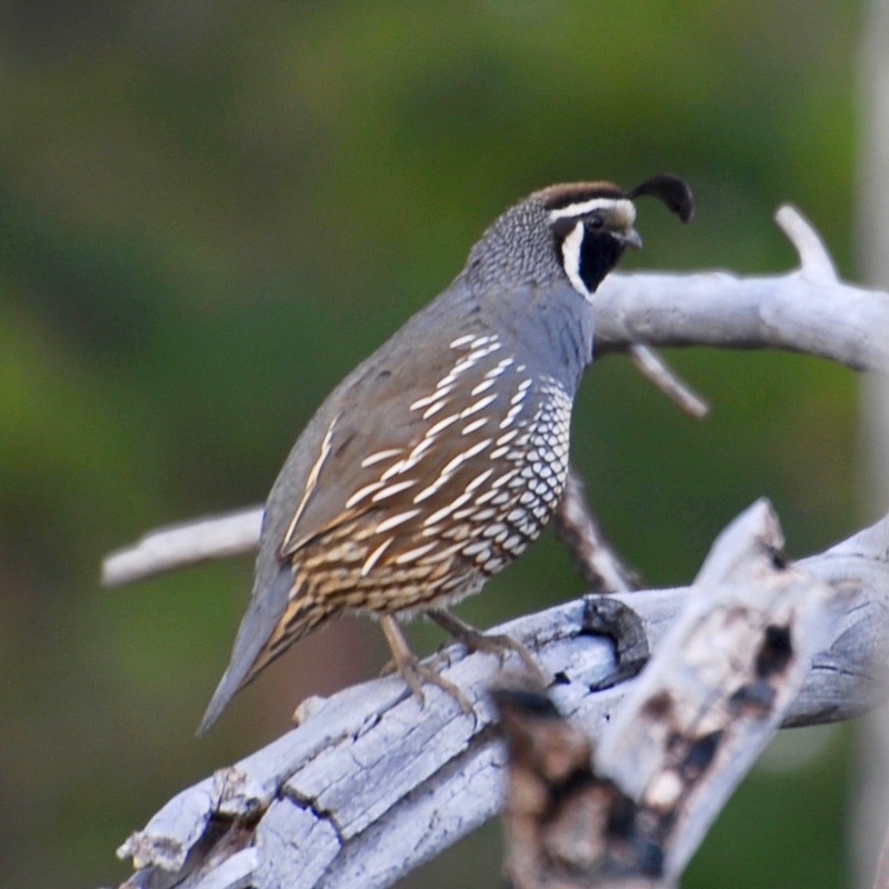 gk-quail.jpg