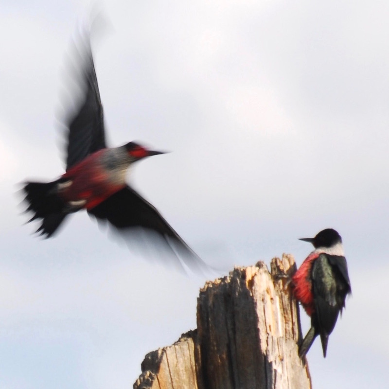 gk-lewis-woodpecker.jpg