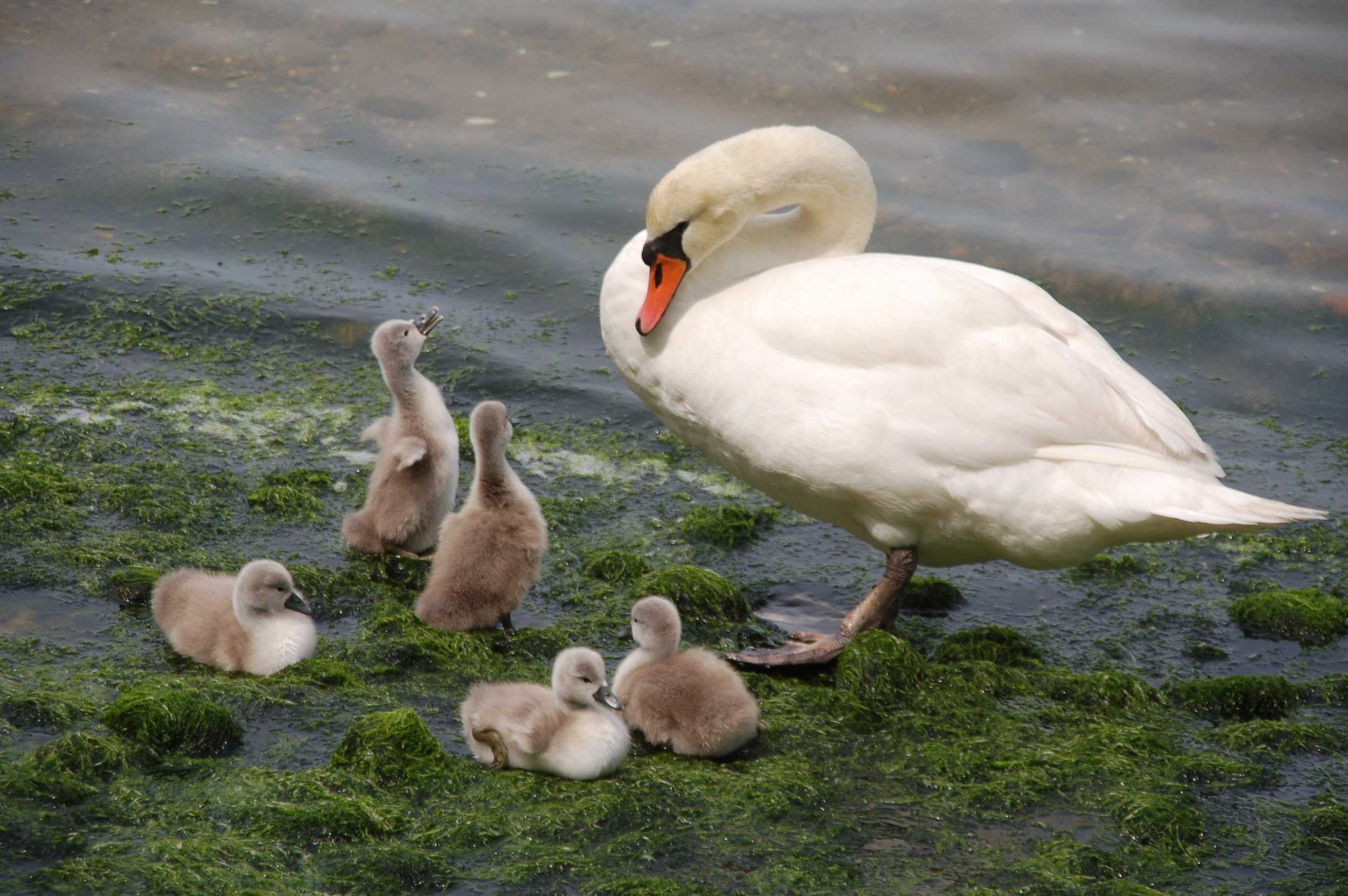 Mute Swan Mother & Signets - May, 2015 These are not native to North America. They were first introduced to this continent by someone living on Lake Agawam in Southampton Village.