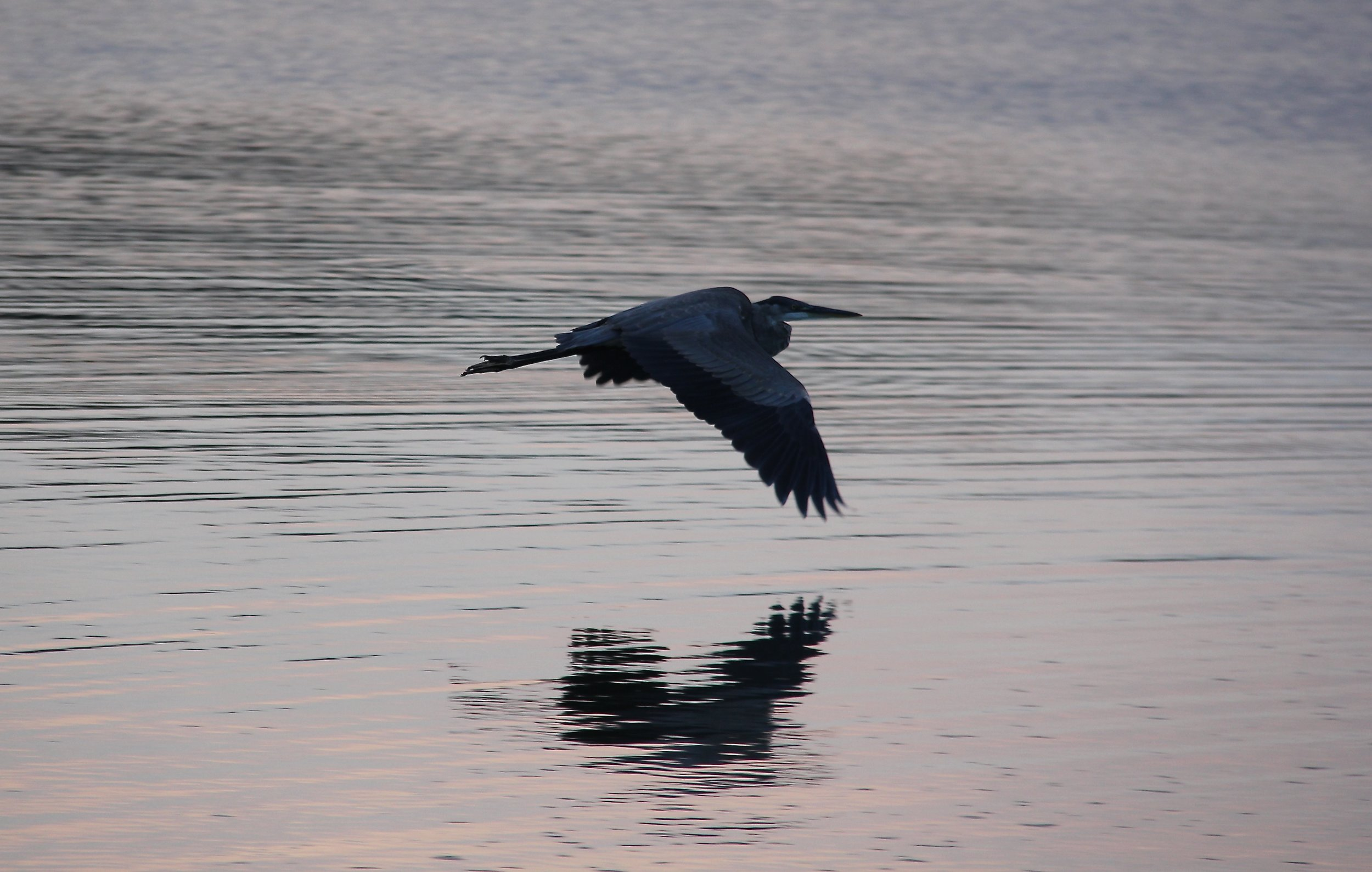 Great Blue Heron - most common here in winter. It does not nest on Long Island. Although, it does nest in CT, Westchester, NY, and NJ. Why not Long Island is a mystery.