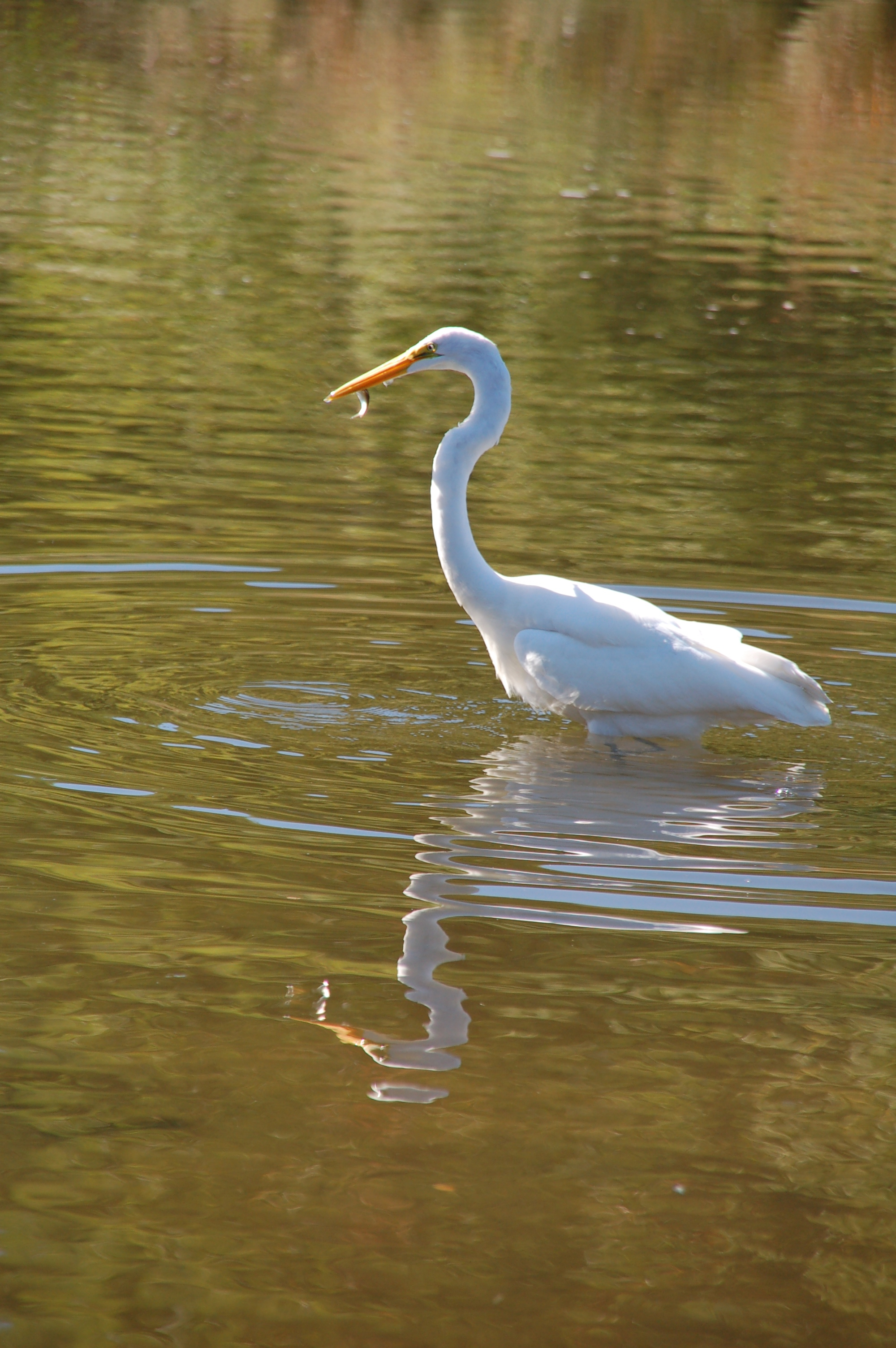 """Great egret can grow to 38"""" tall"""
