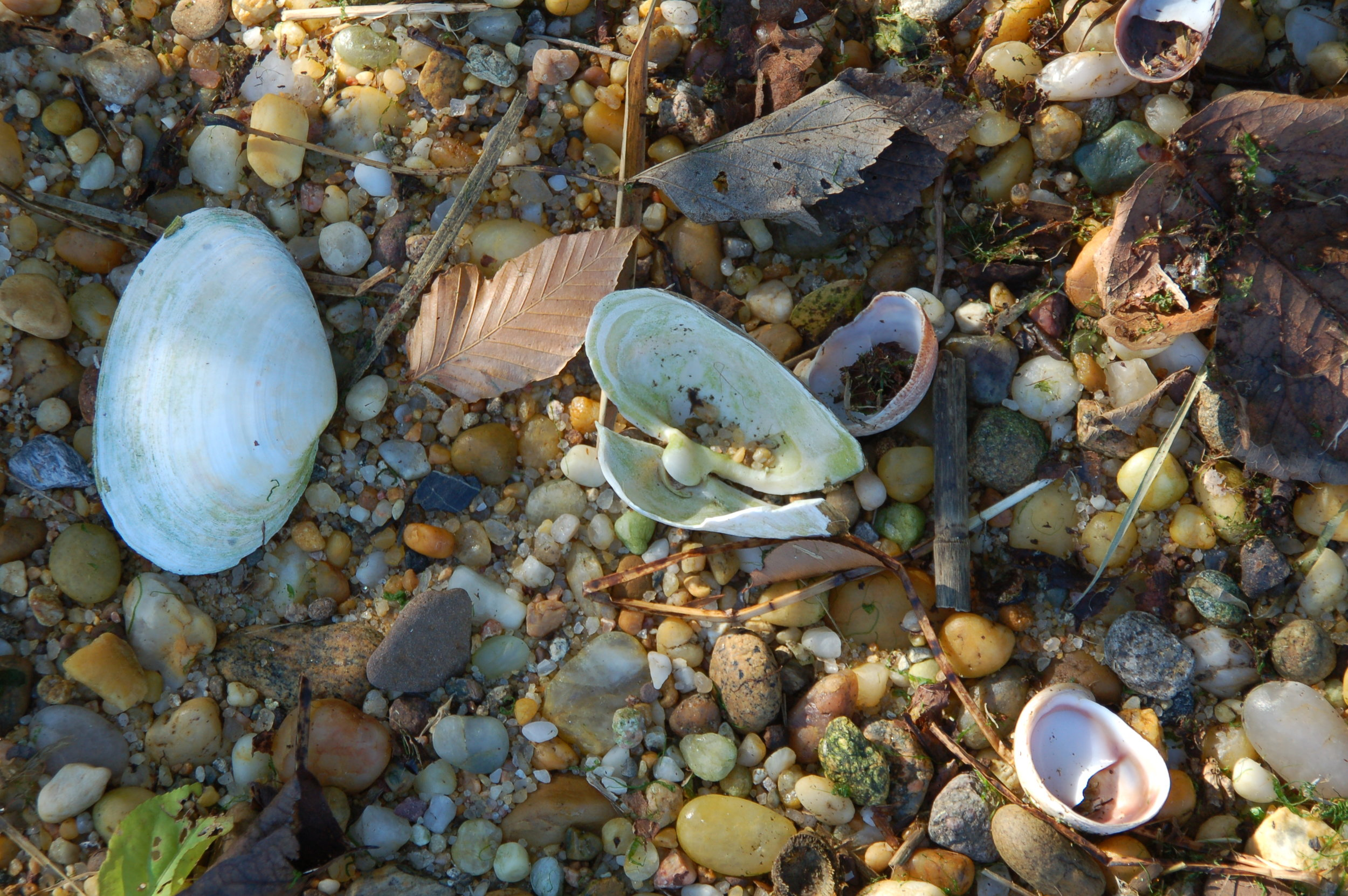 Native shoreline sea shells