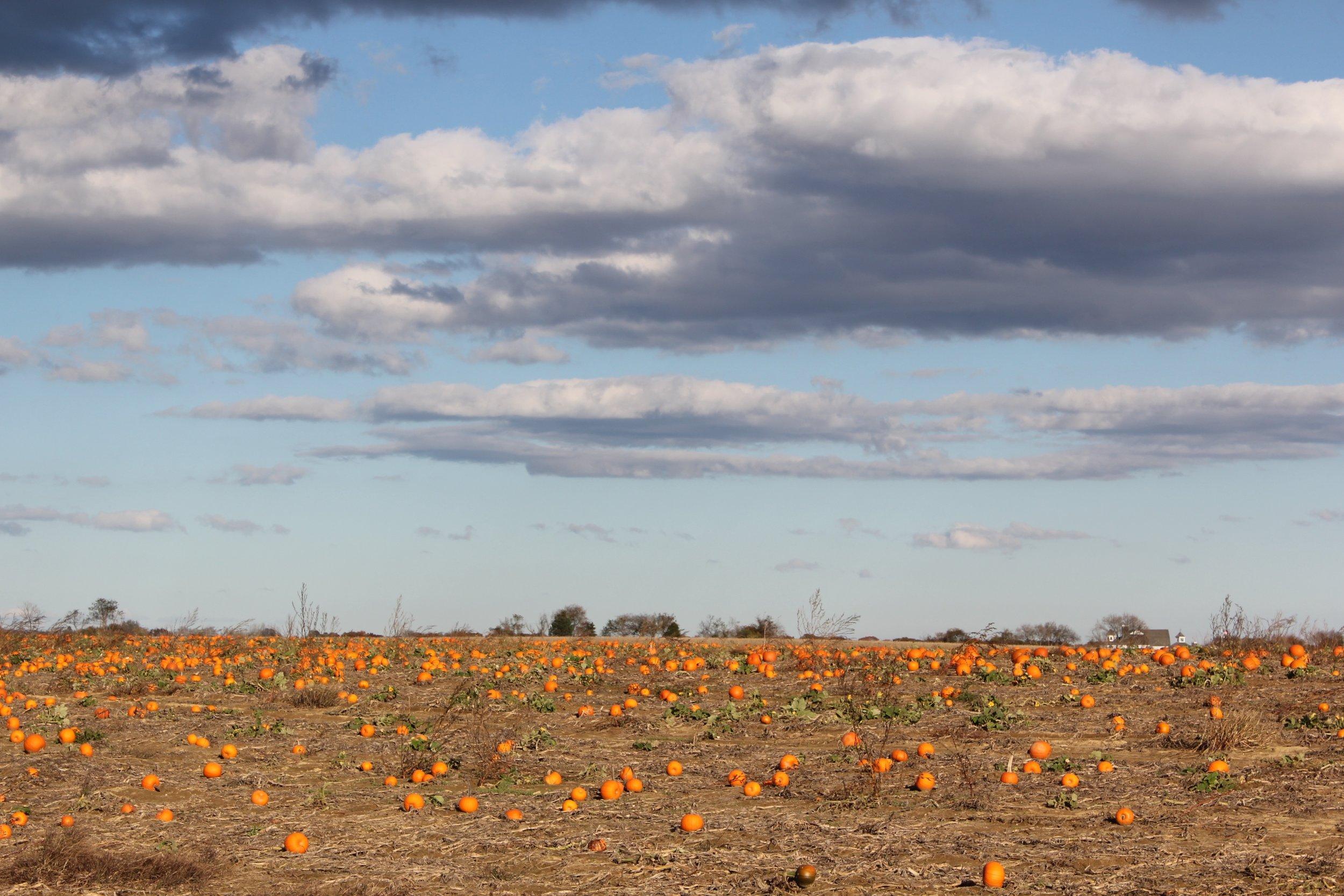 Fall pumpkins ready for Halloween!