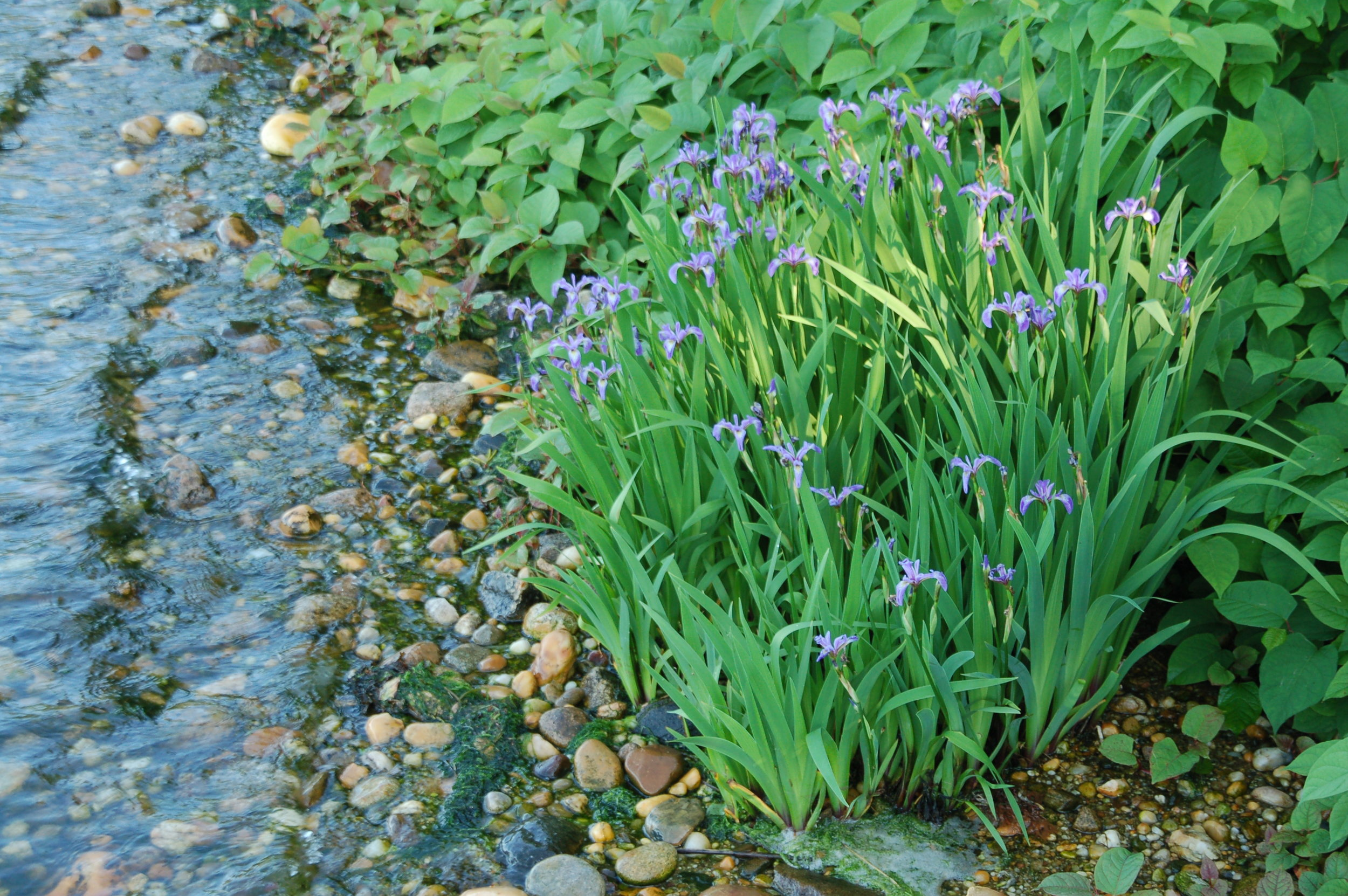 Iris growing in the fresh water springs off Three Mile Harbor.