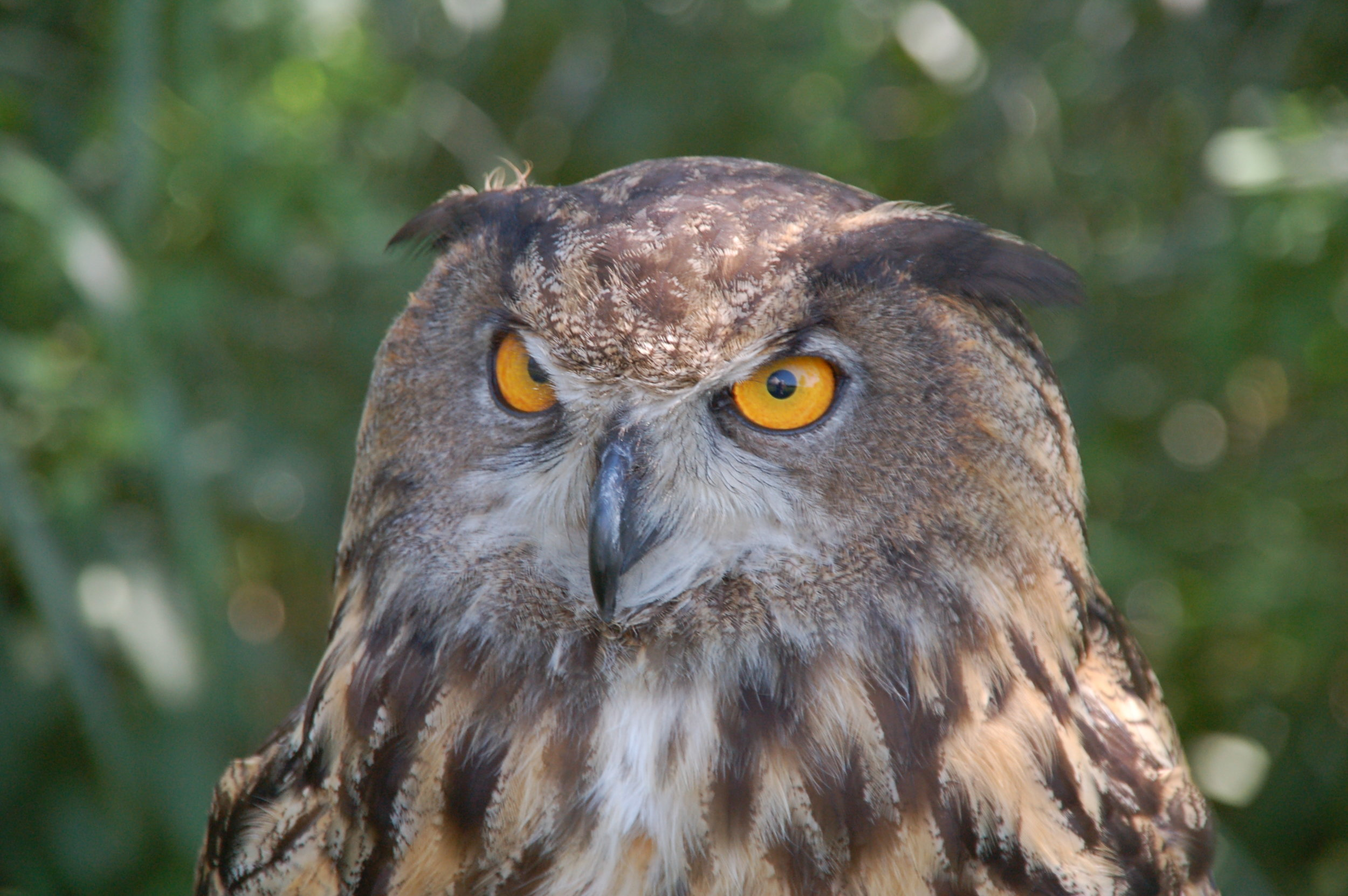 Great Horned Owl - the largest local owl that nests here.