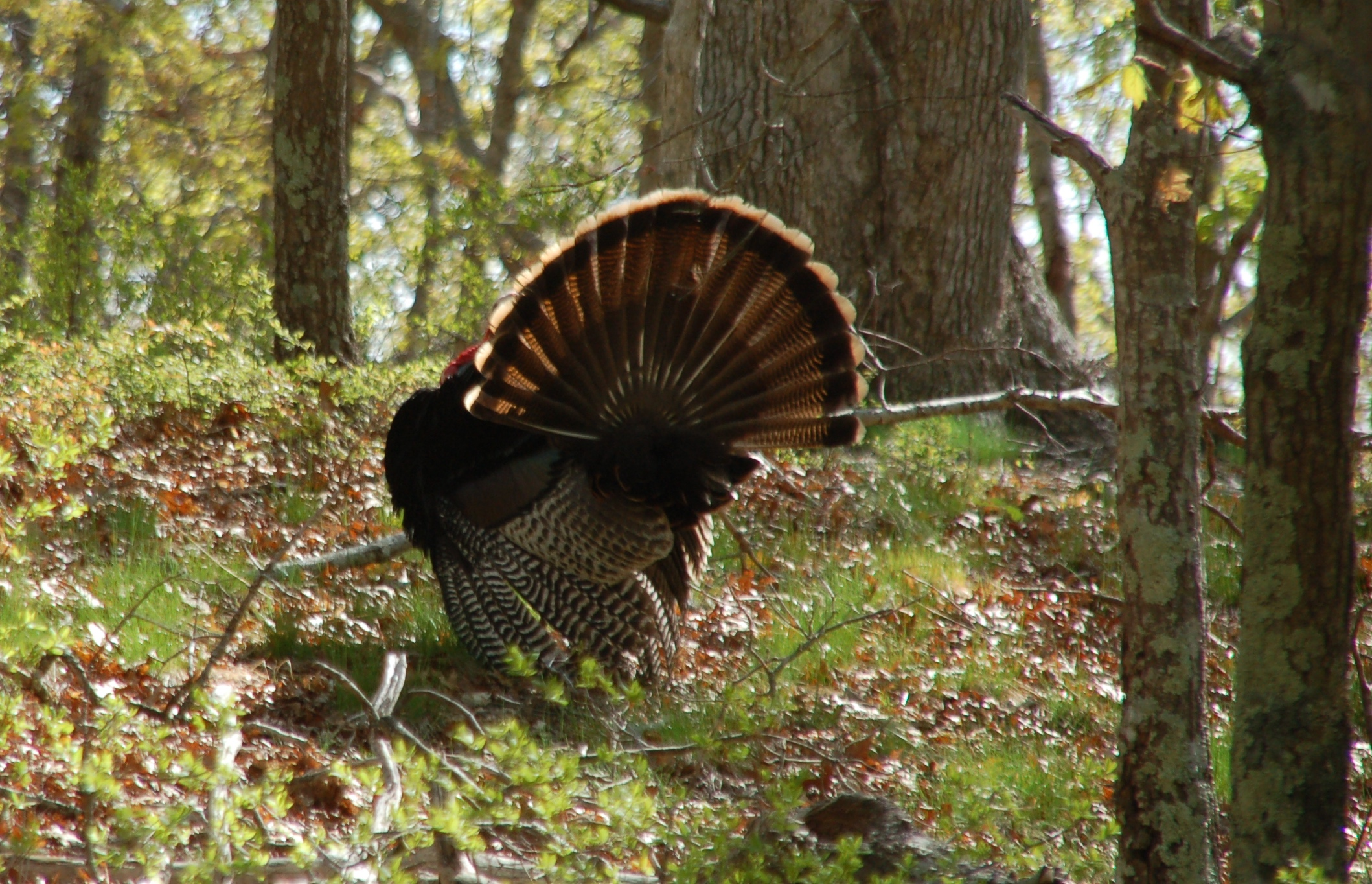 Male turkey courting female