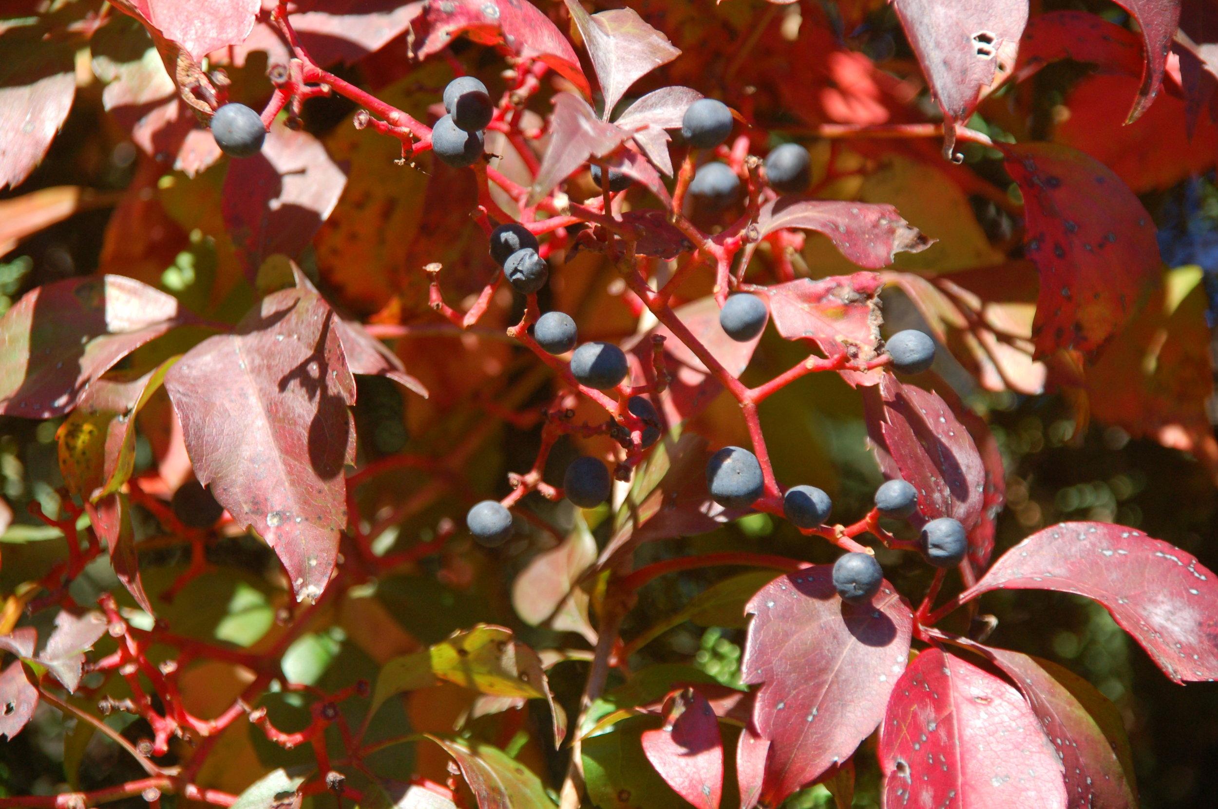 Virginia Creeper in fall - a native vine.