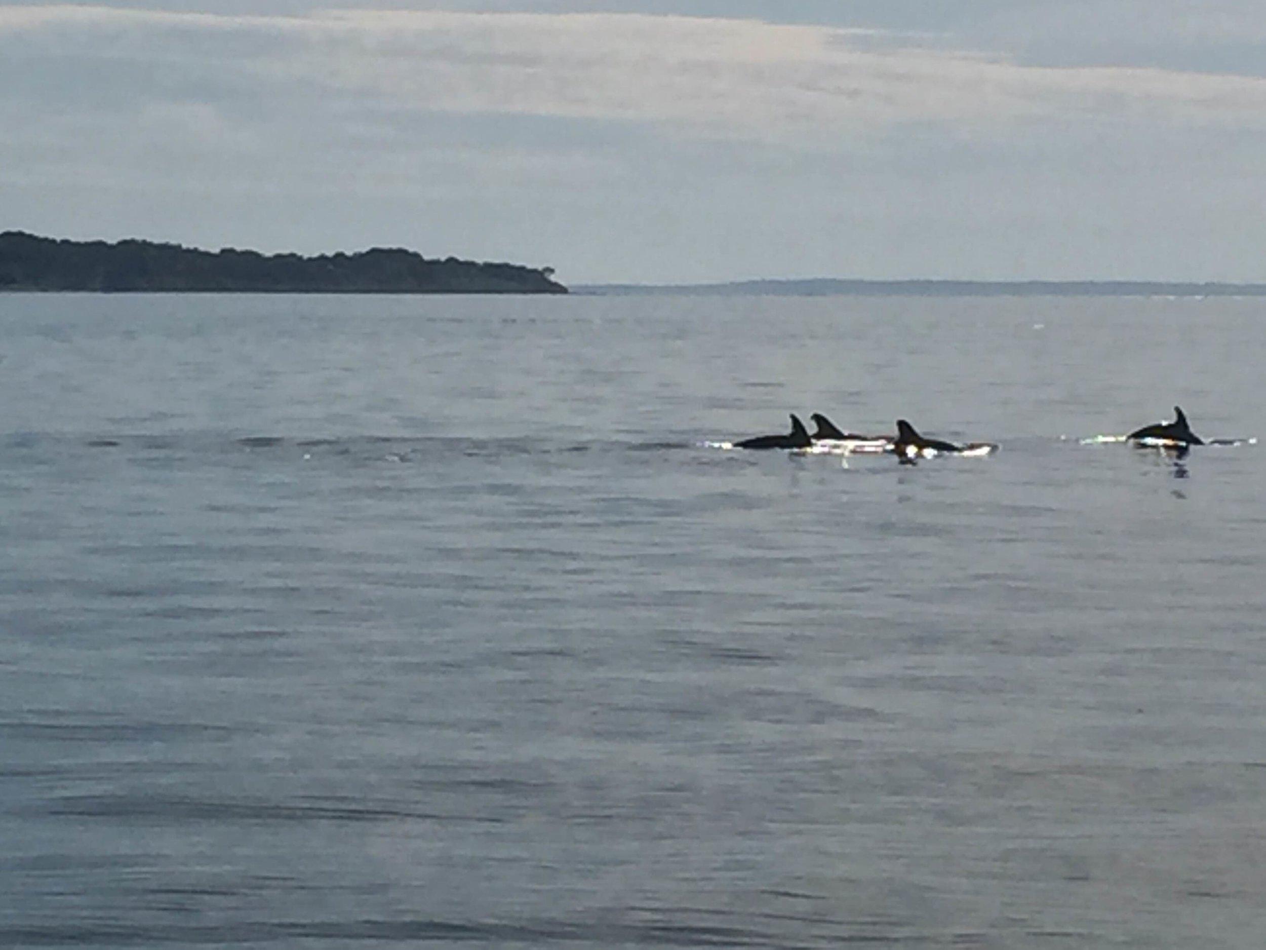 Porpoises in Three Mile Harbor - June, 2016