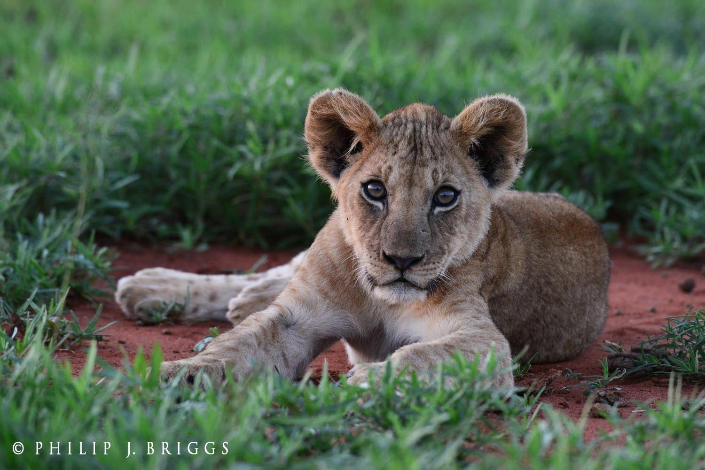 LionGuardians_ Philip-J-Briggs_Lion cub.jpg