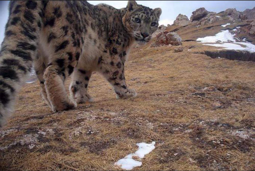 Snow leopard.png