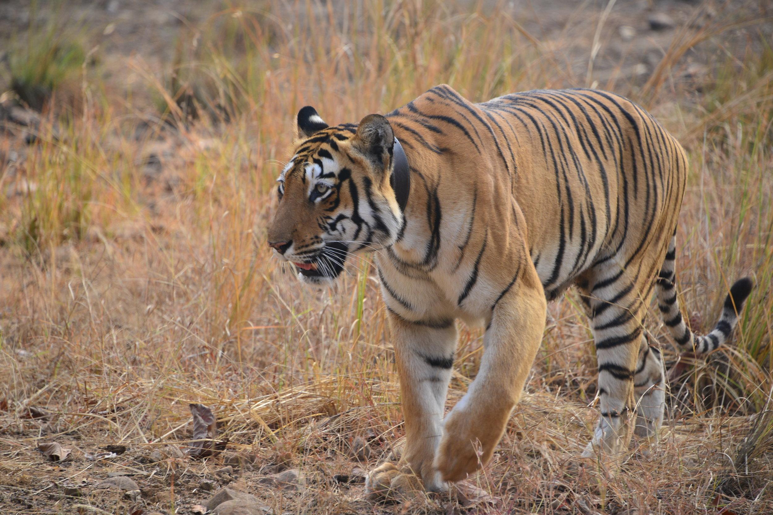 Radio Collared Tigress Tadoba Mission.jpg