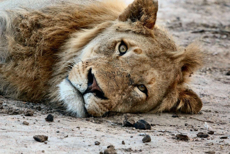 lion 123.jpg