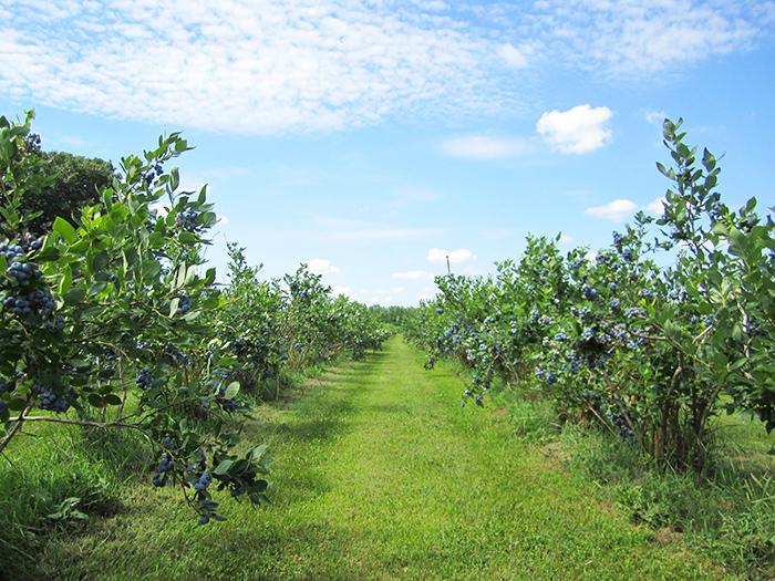 u-pick-blueberries-1.jpg