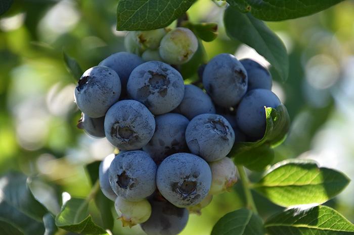 u-pick-blueberries-8.jpg