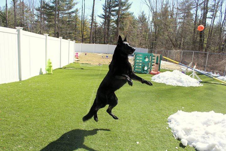 black german shepherd.jpg