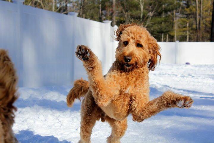 standard poodle in snow.jpg