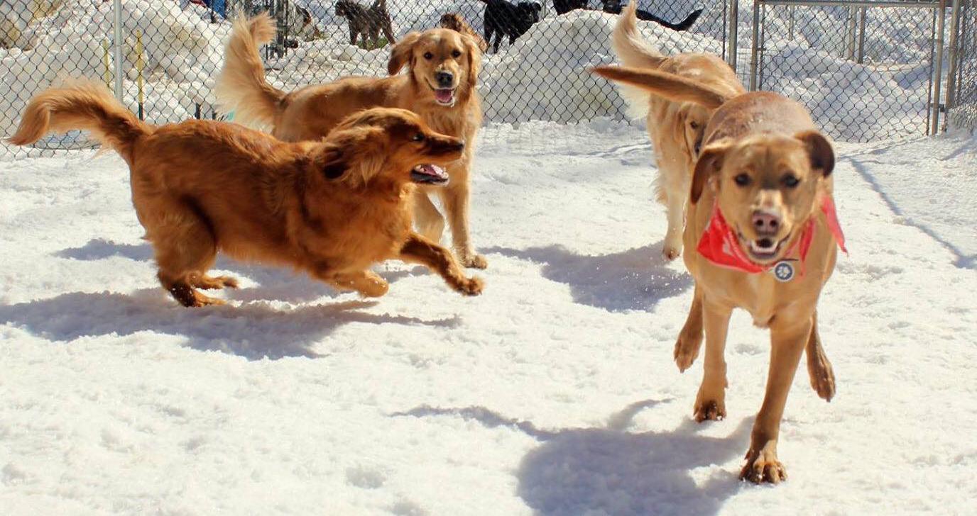 retrievers in snow.jpg