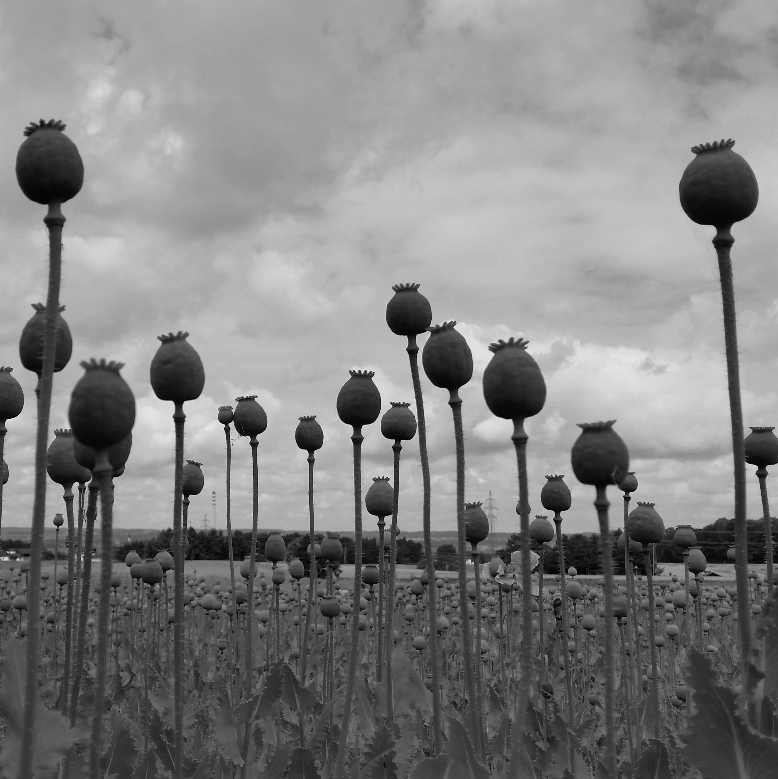 The black-and-white photograph is taken from low to the ground, so the viewer looks up toward the poppy buds and the clouds above. The poppies seem to tower above, and a field of them spreads at least 100 feet into the background.