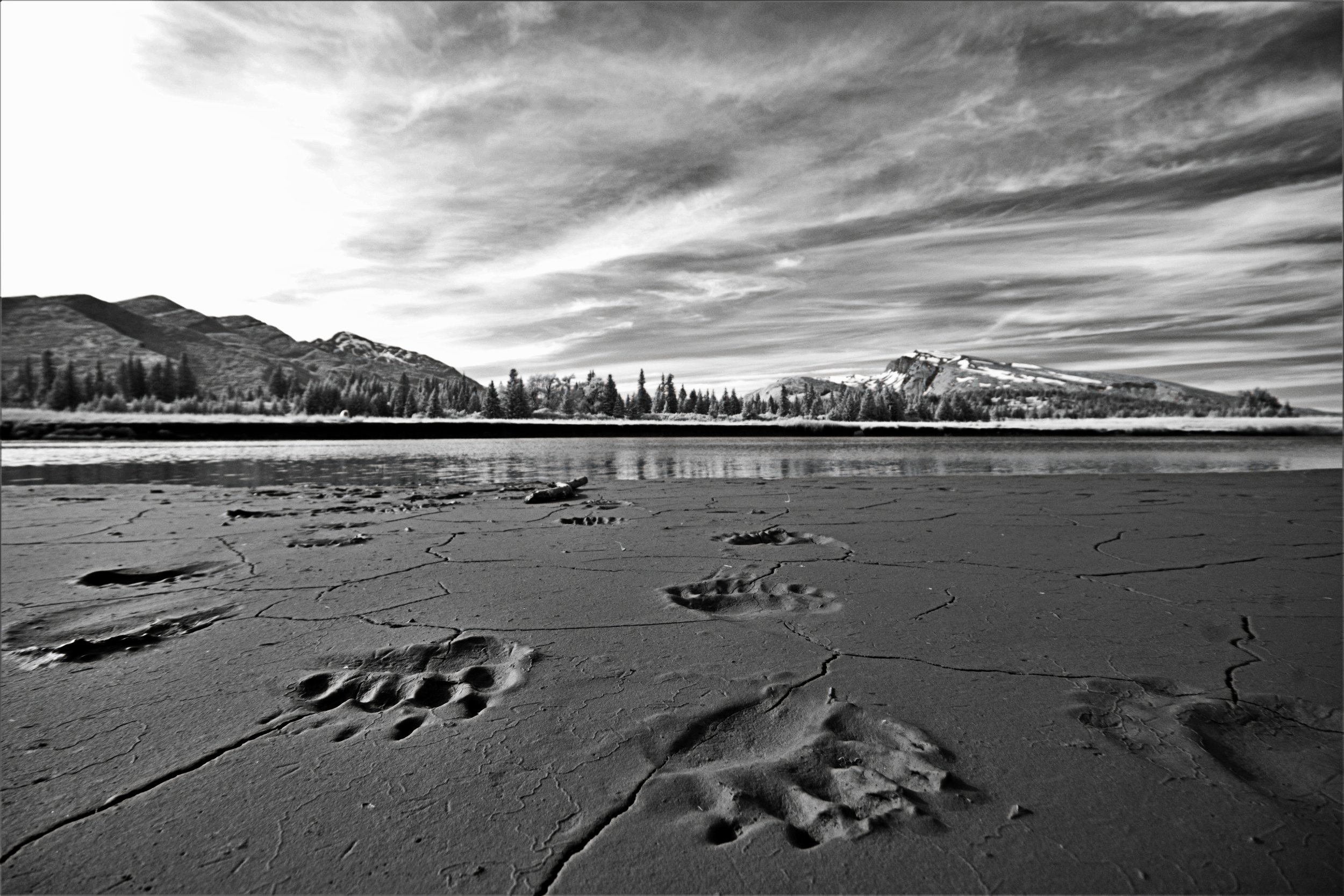 Black and white photo of bear prints on a beach