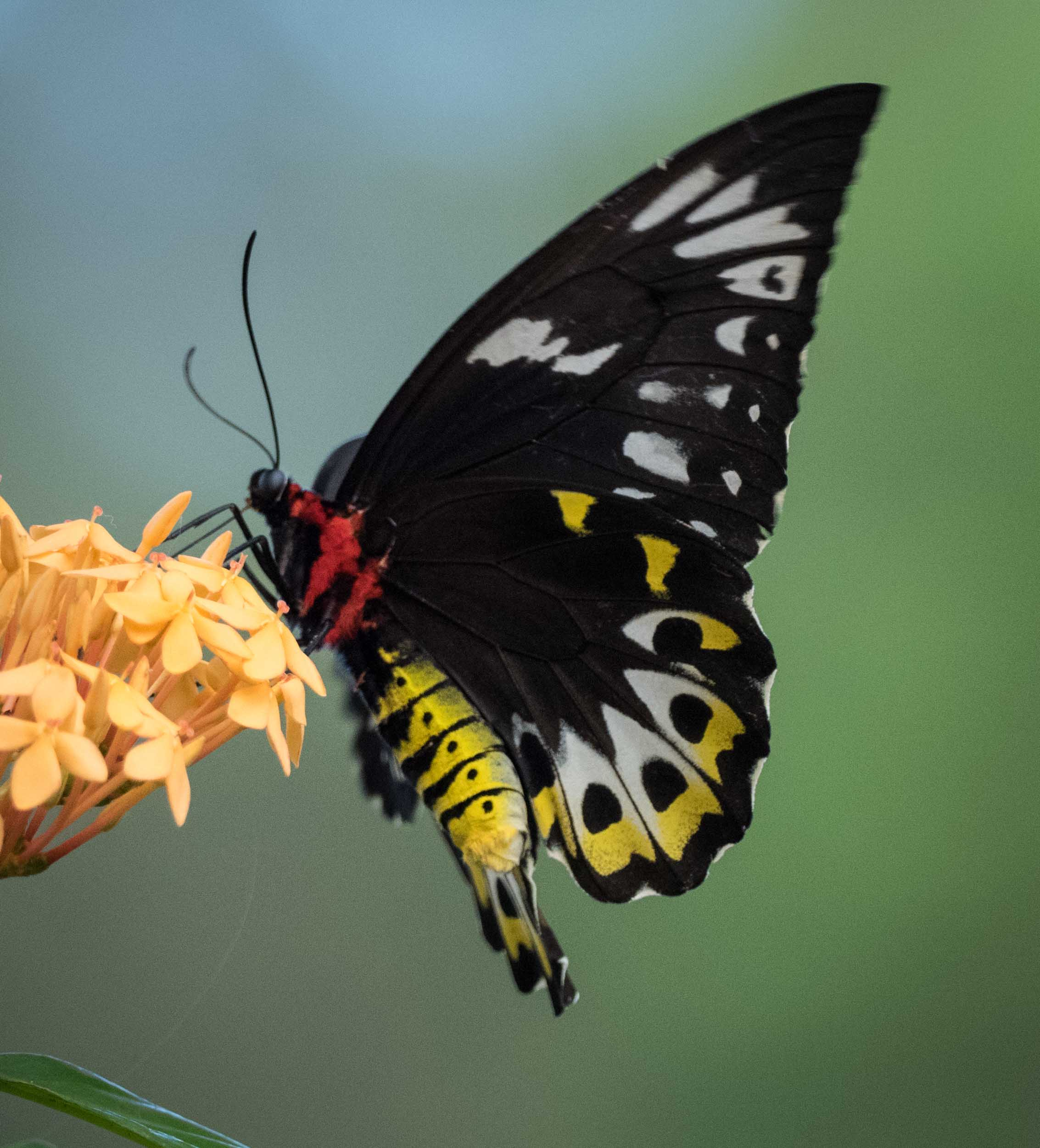 Cairns Birdwing (female)