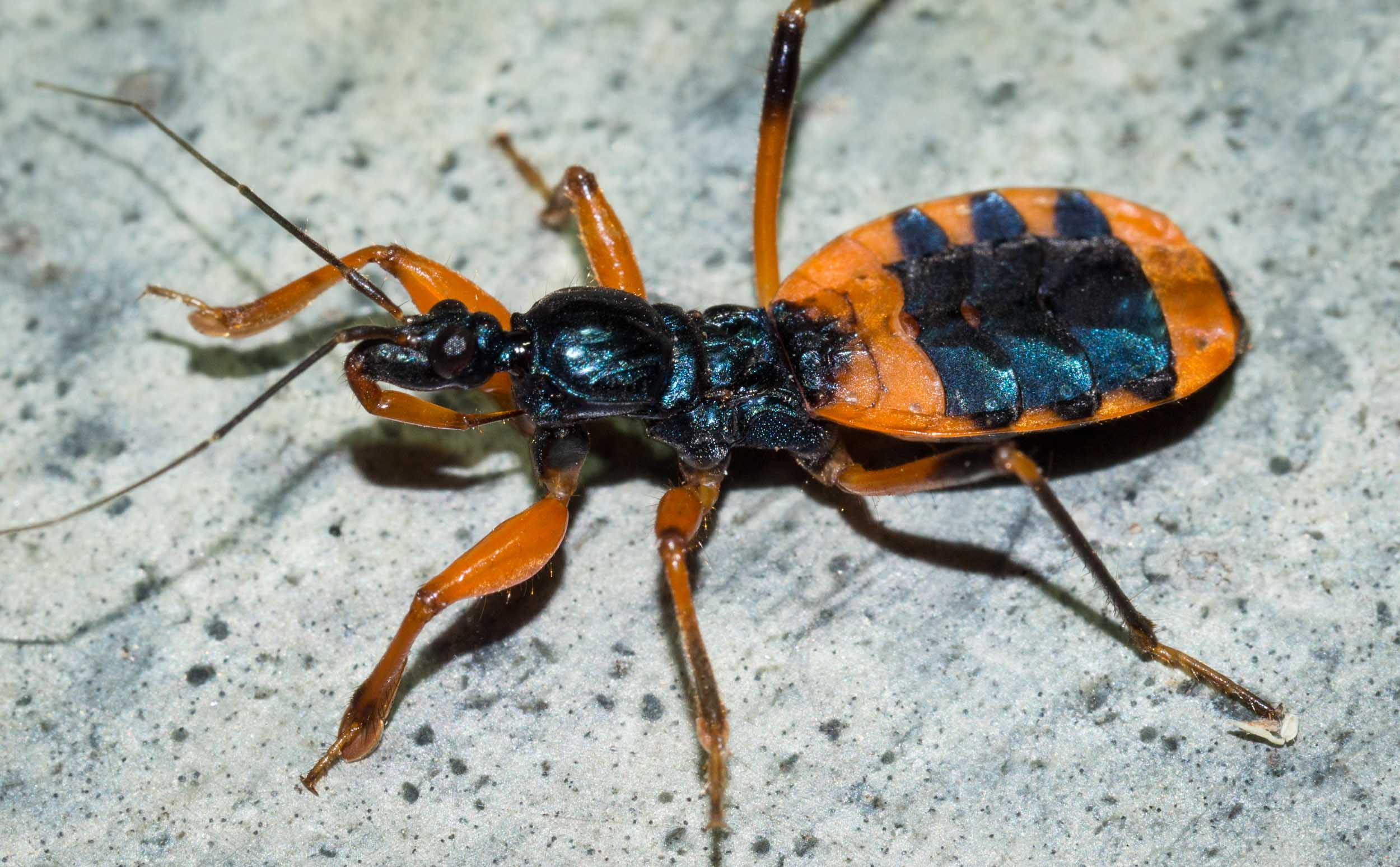 Ground Assassin Bug