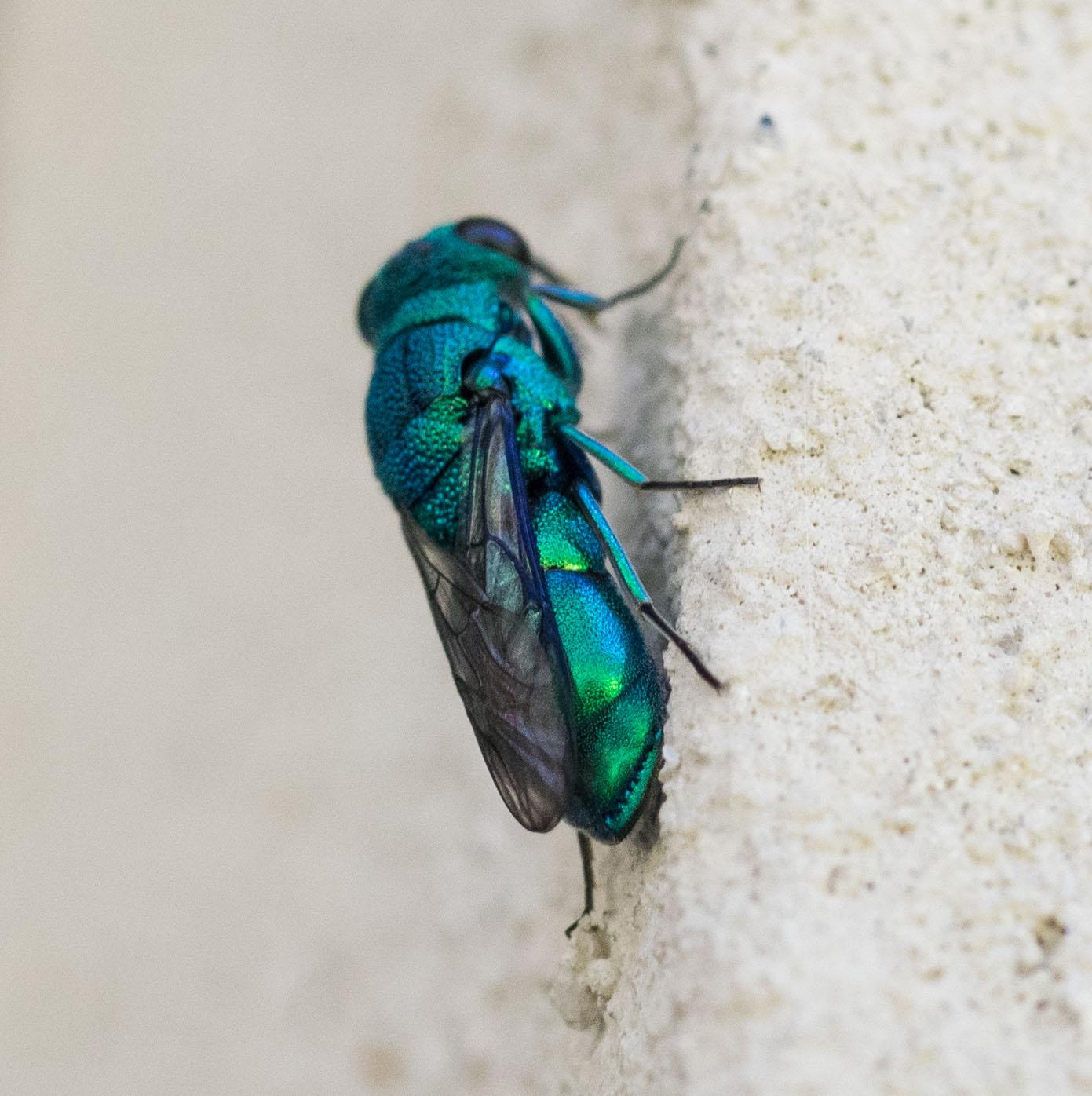 Cuckoo Wasp (female)