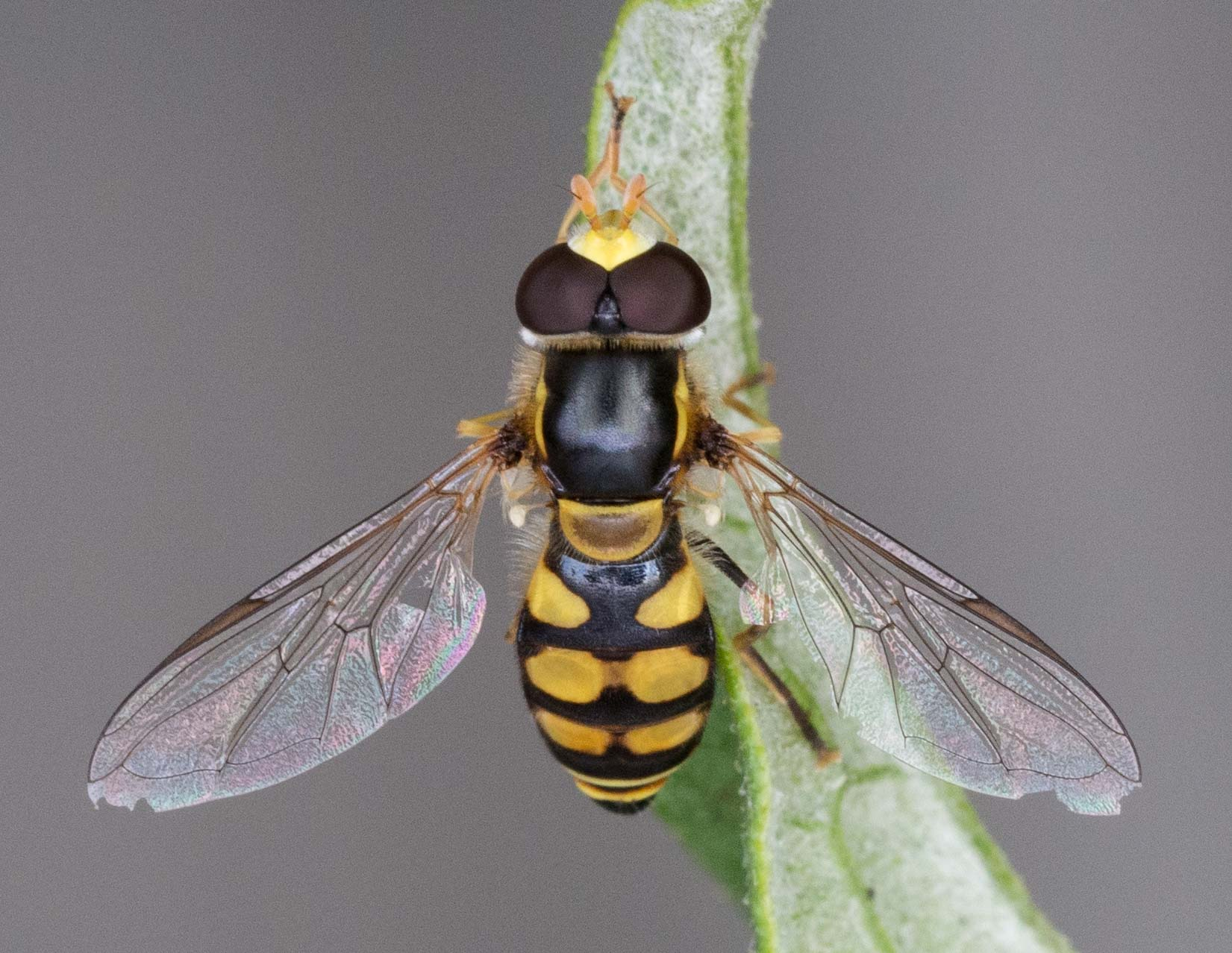 Yellow-shouldered Hover Fly