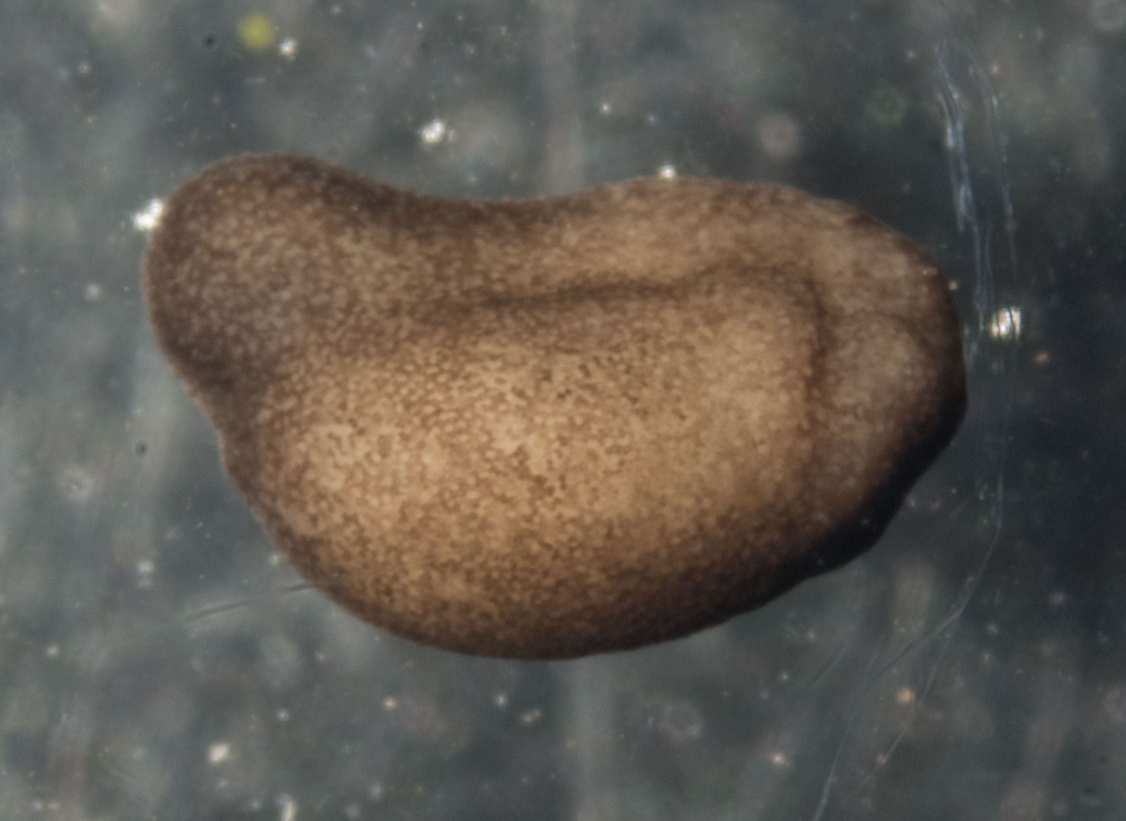 This is a tailbud stage embryo. The bulge on the left is the developing tail. While the embryo looks quite formless, it already possesses early versions of most of the internal organs.