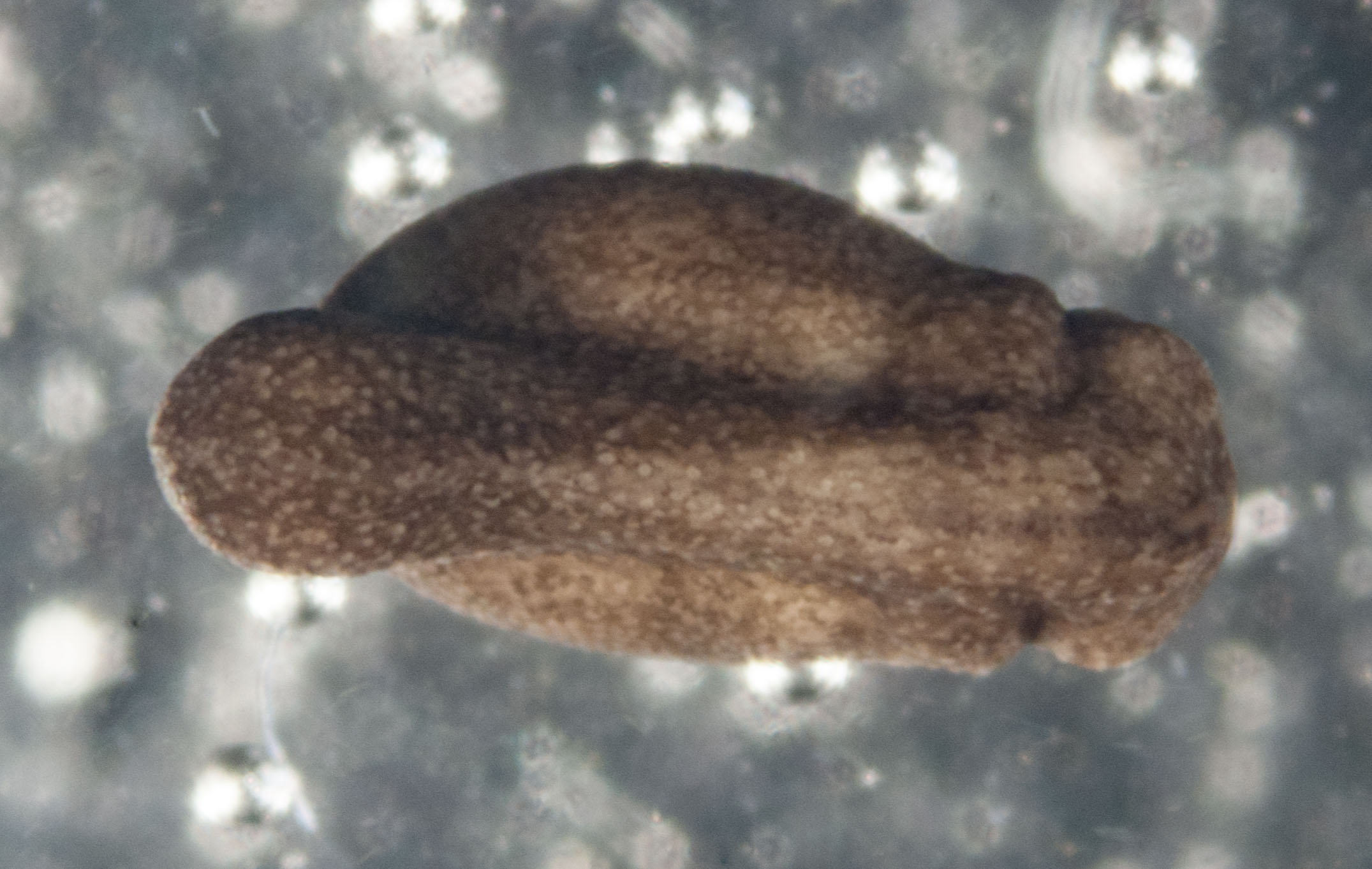 The same embryo viewed from above. The ridge along the back marks the developing spinal cord, while the bulges on each side at the right end show where the brain is developing.