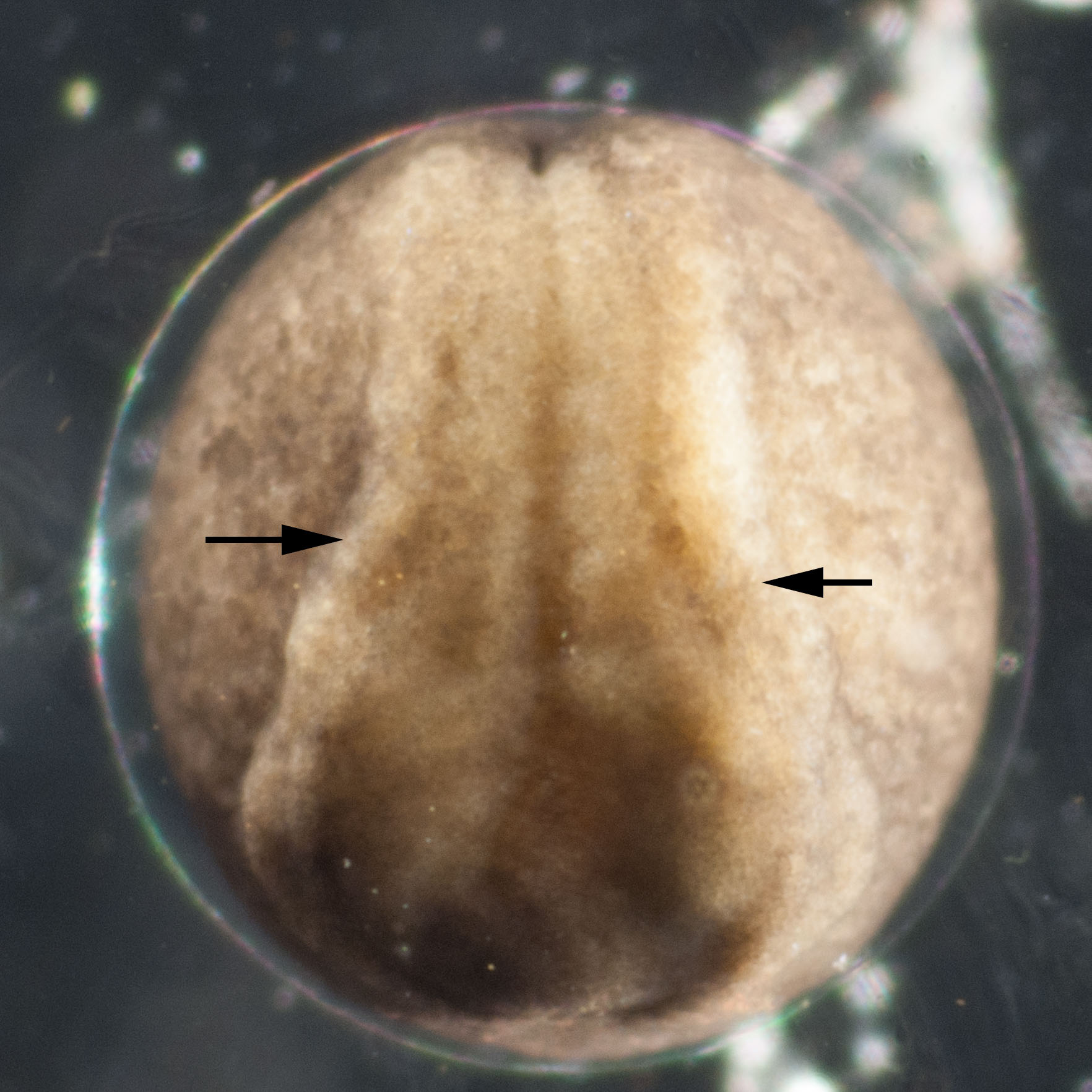 Image 3.  A pair of folds (arrowed) rises up from the surface along the length of the embryo, on either side of the midline.