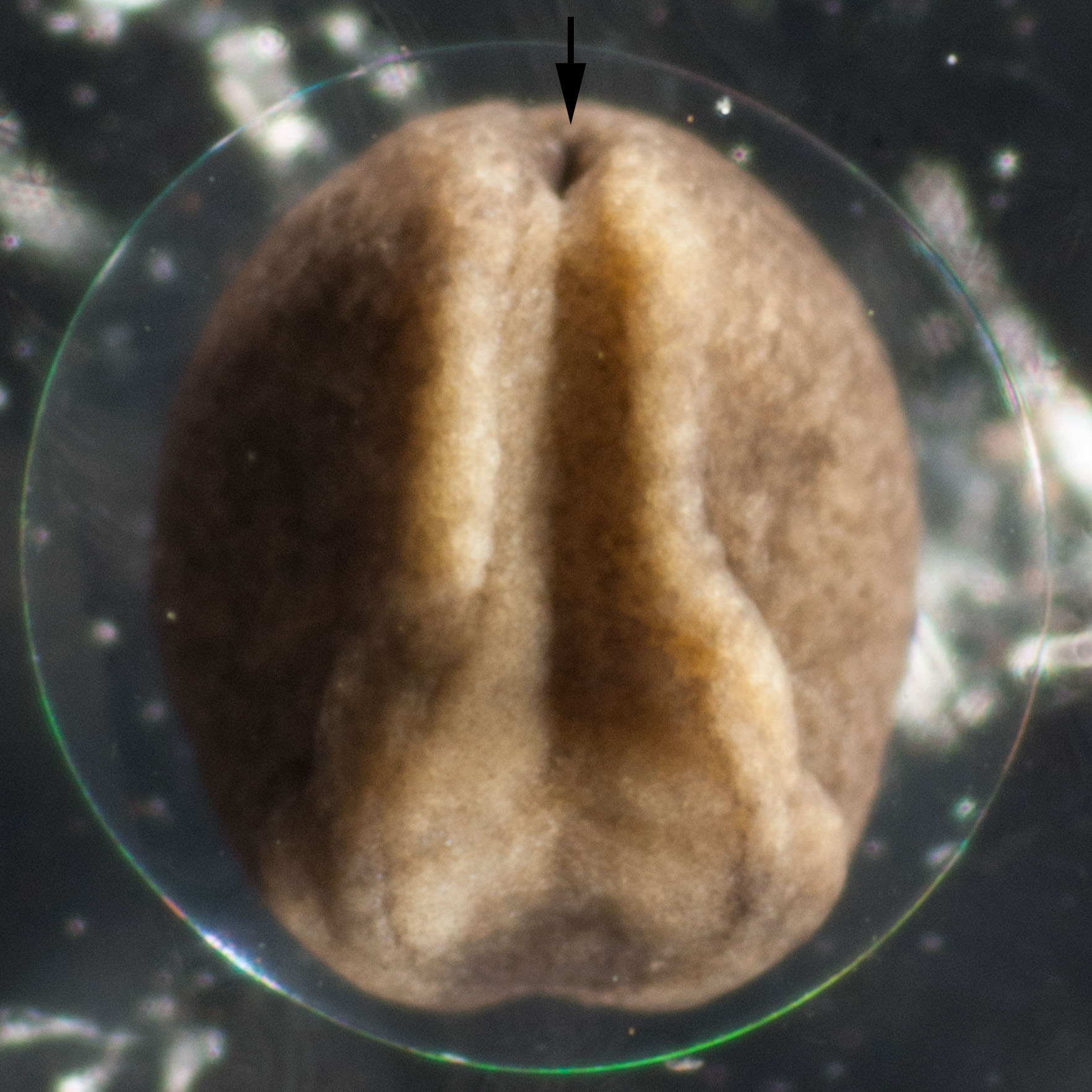 Image 10 . The folds are more prominent and are approaching each other in the rear end of the embryo. The arrow points to a hole which becomes the anus.