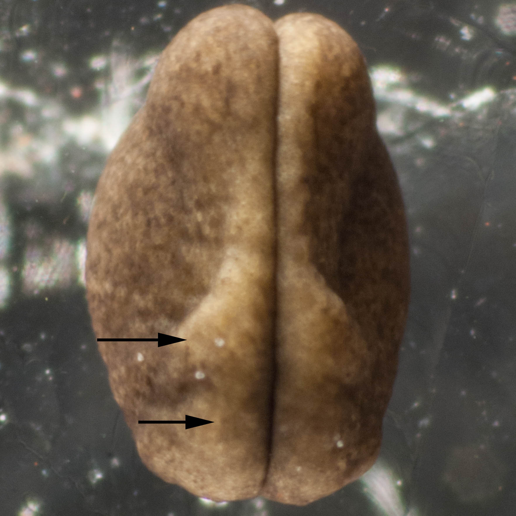 Image 18.  The folds have come together at the midline along the whole length of the embryo.Soon they will fuse to form a tube just under the skin. This tube is the forerunner of the brain and spinal cord. The bulge shown by the lower arrow becomes the brain. The other bulge, indicated by the upper arrow, becomes the external gills.