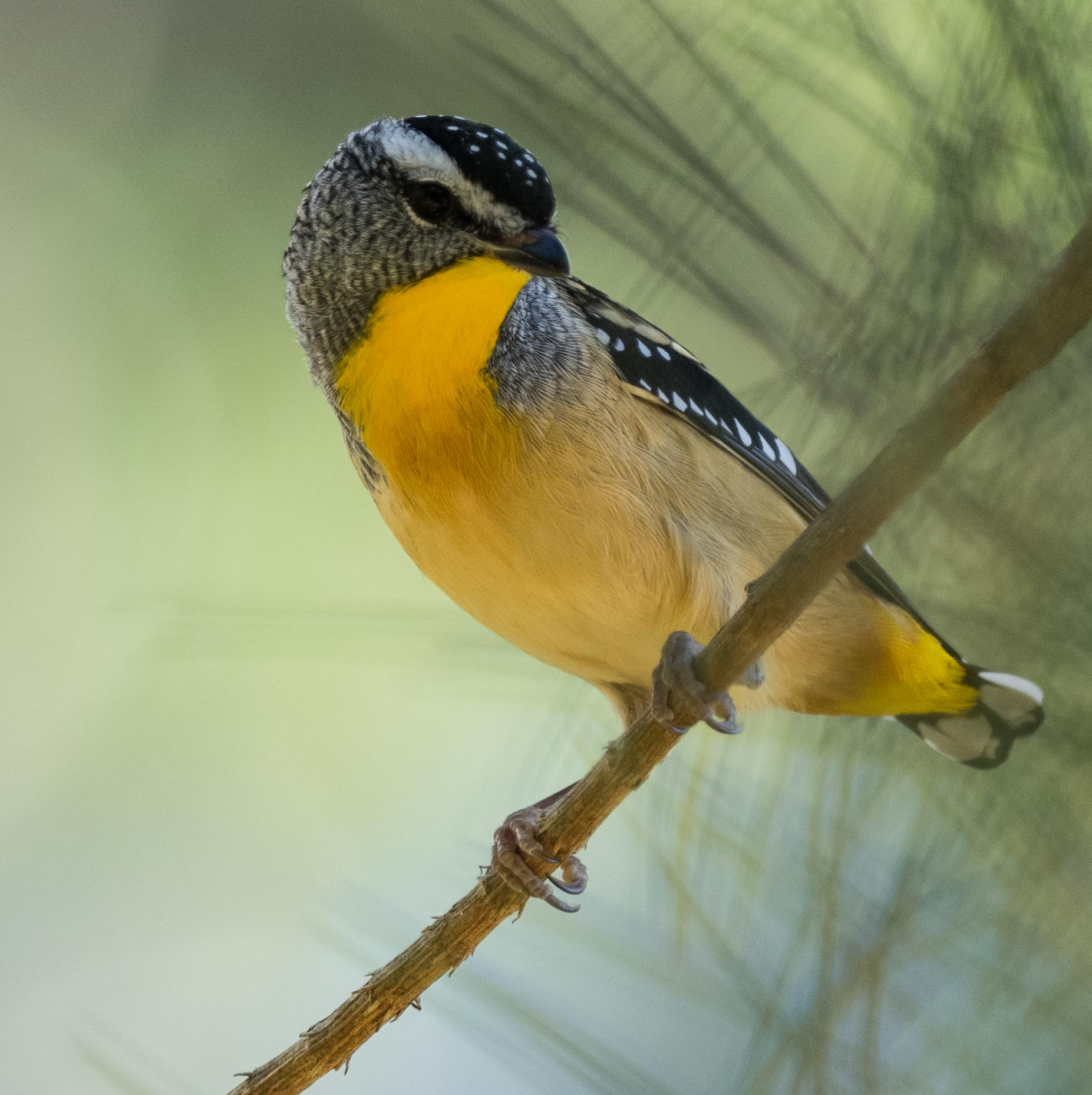 Spotted Pardalote (adult male)