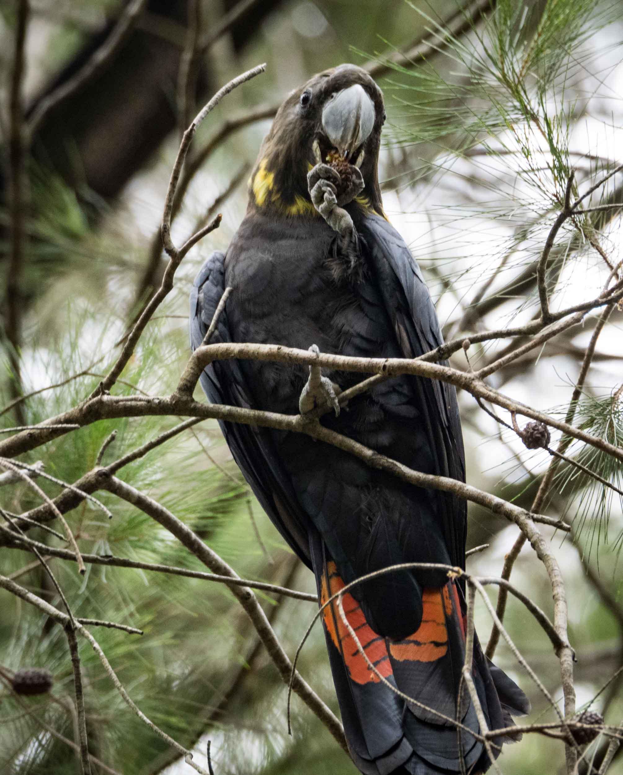 Glossy Black-Cockatoo (female)