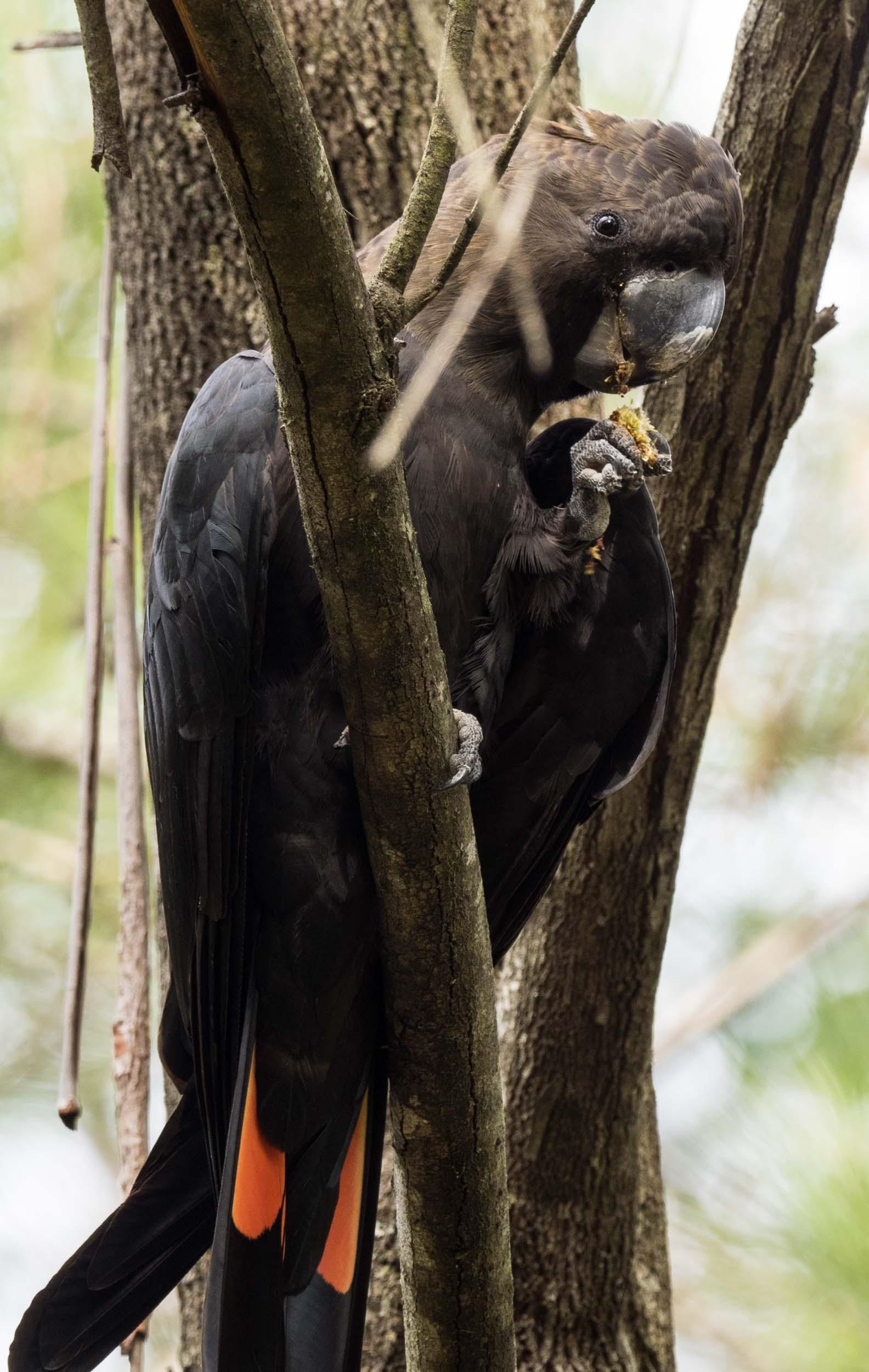 Glossy Black-Cockatoo (male)